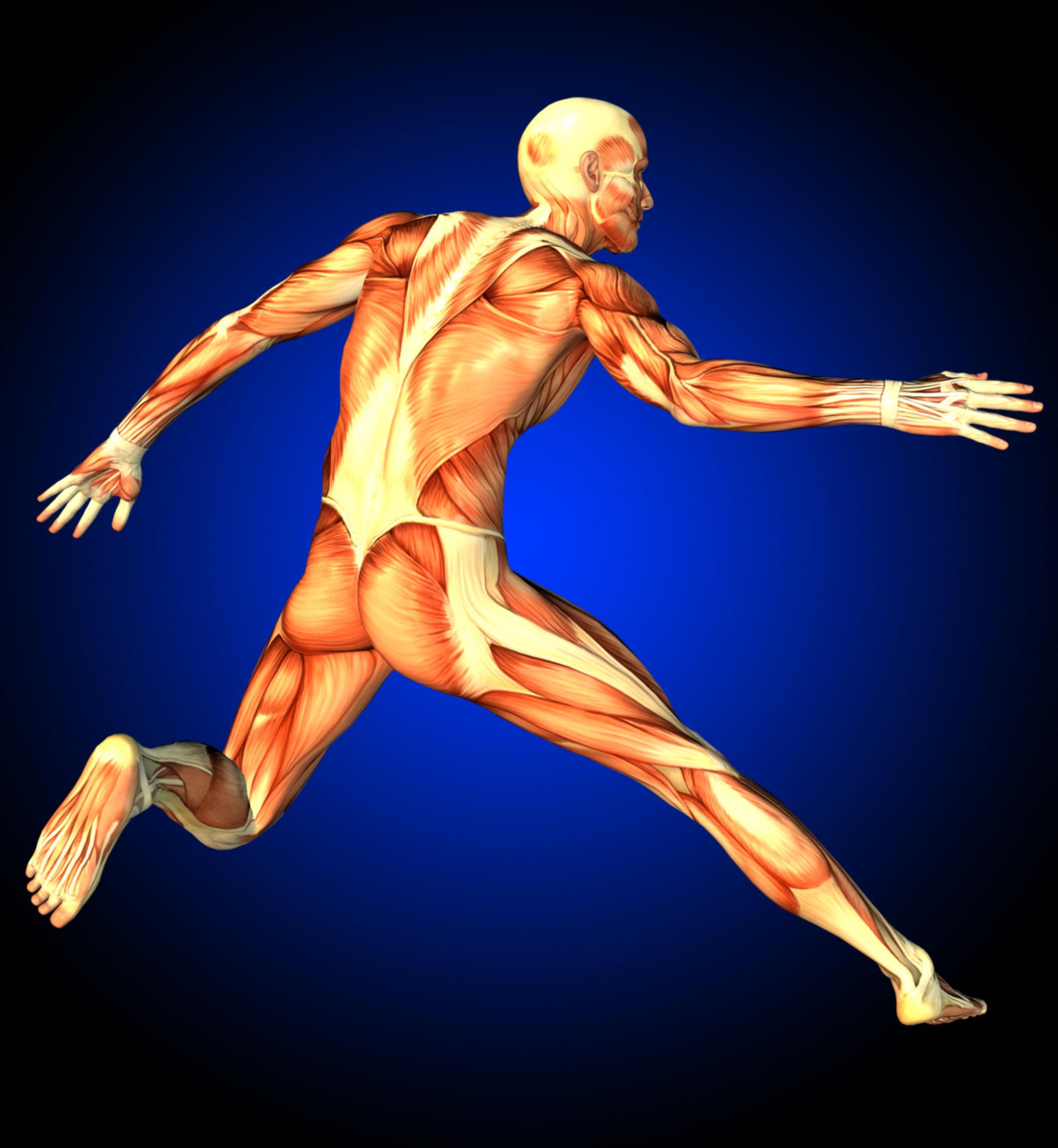 Muscolatura umana durante il salto