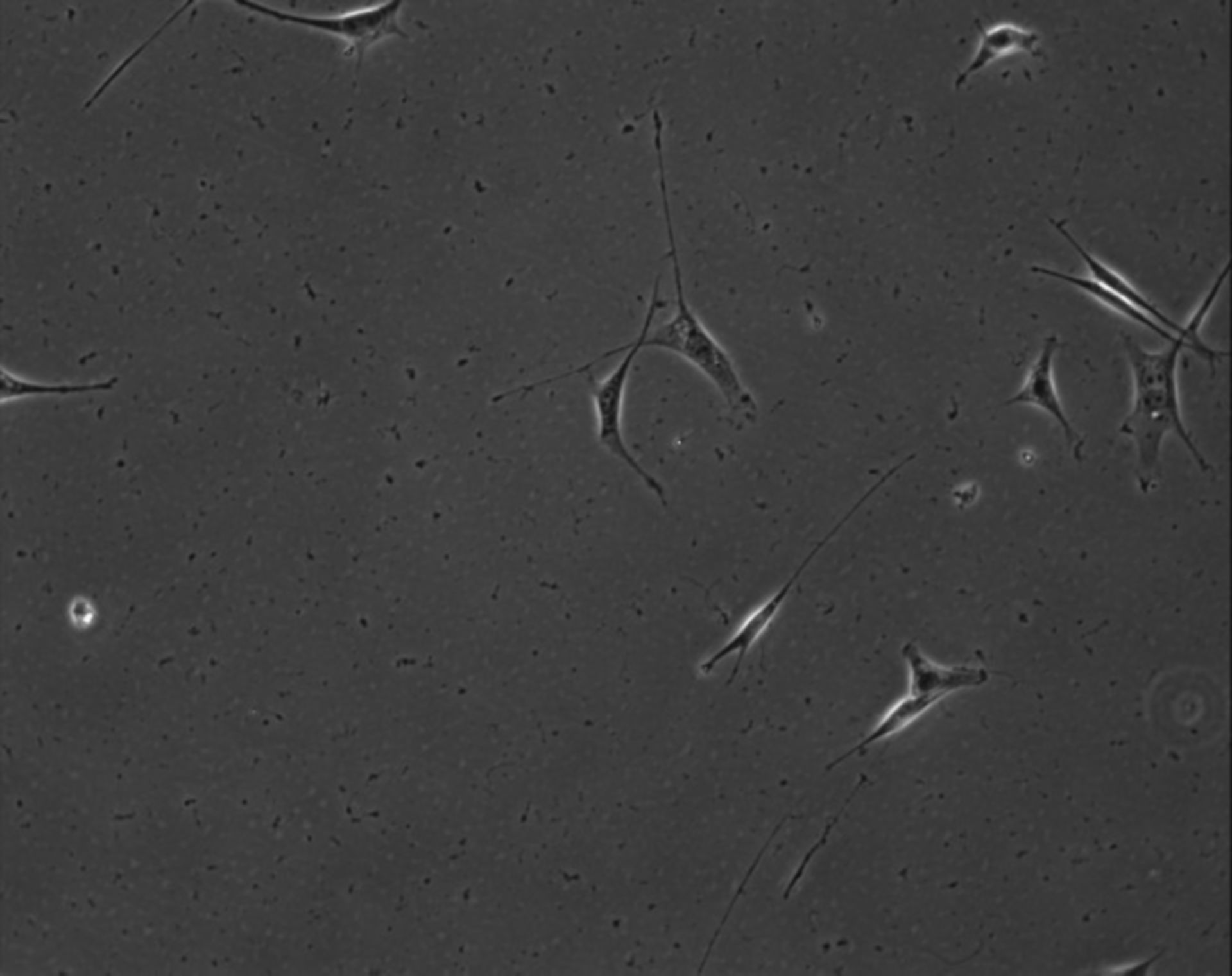 Mus musculus (Extracellular matrix part) - CIL:7888