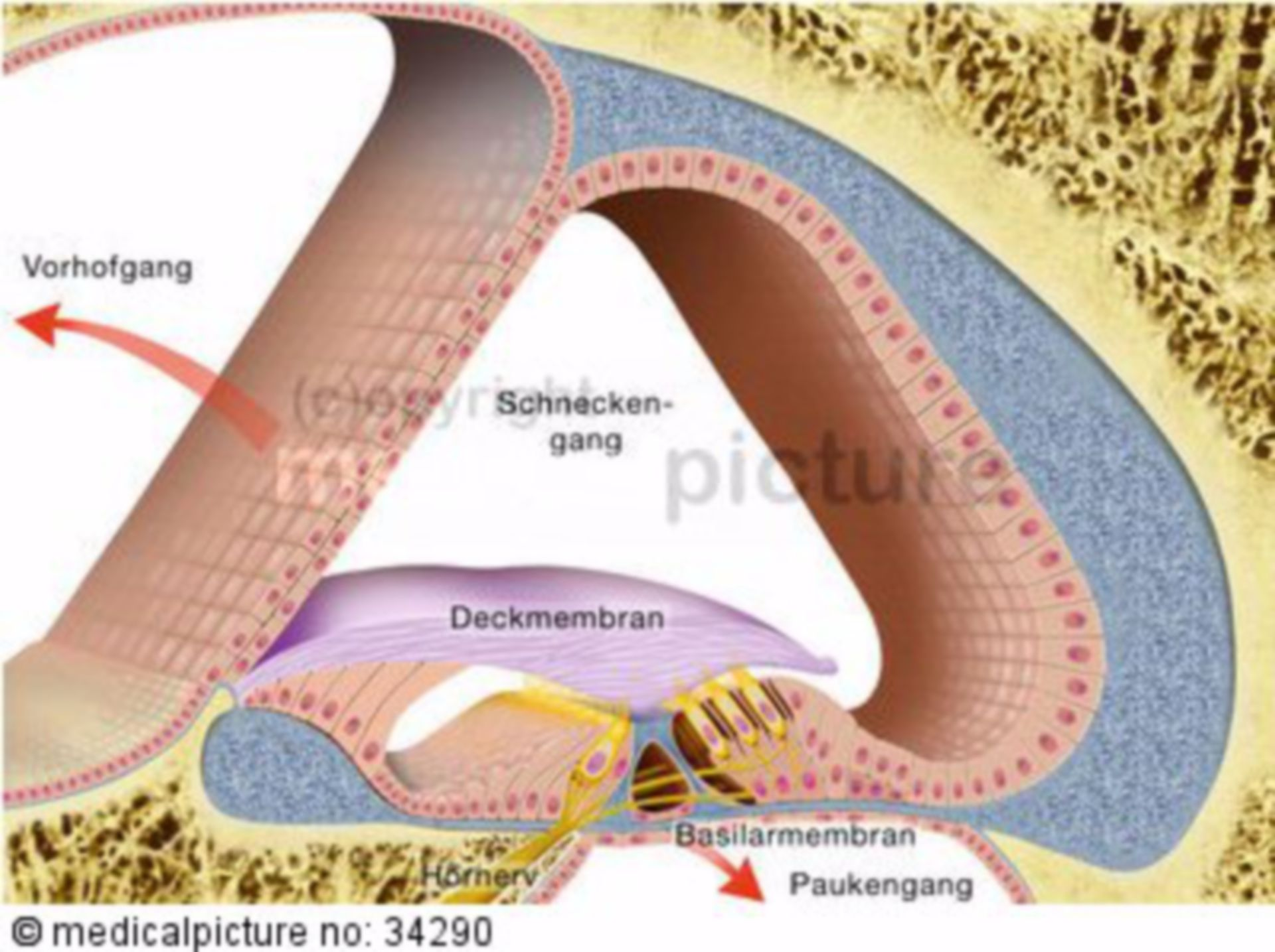 Cross-section of the Inner Ear with the Corti-Organ