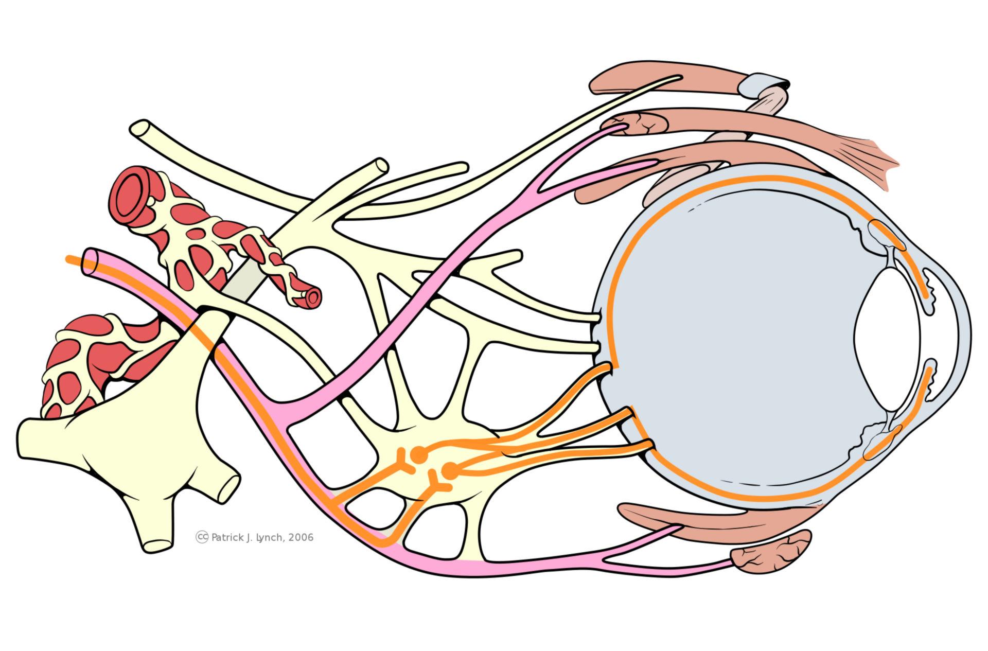 Occhio, diagramma vie nervose