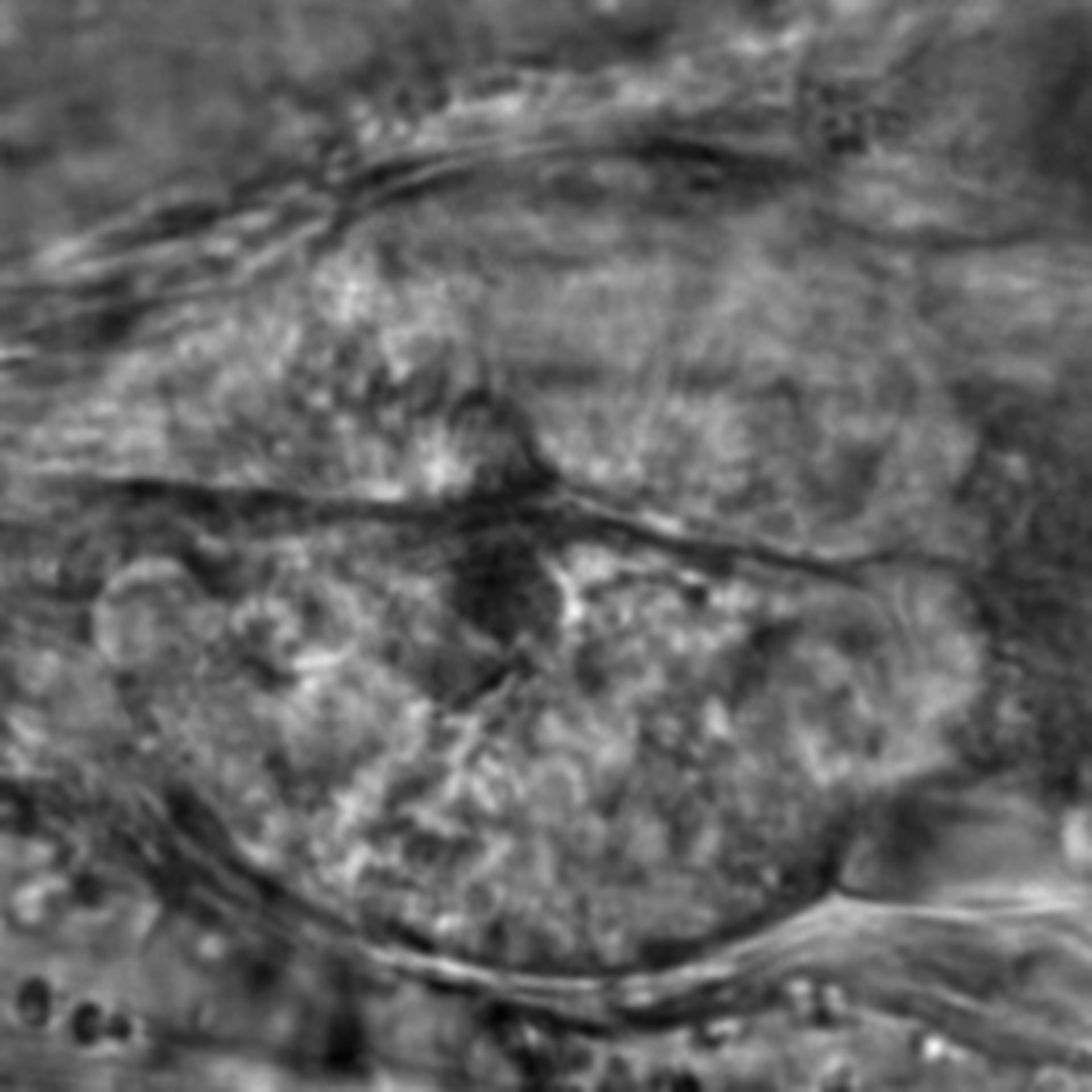 Caenorhabditis elegans - CIL:1924