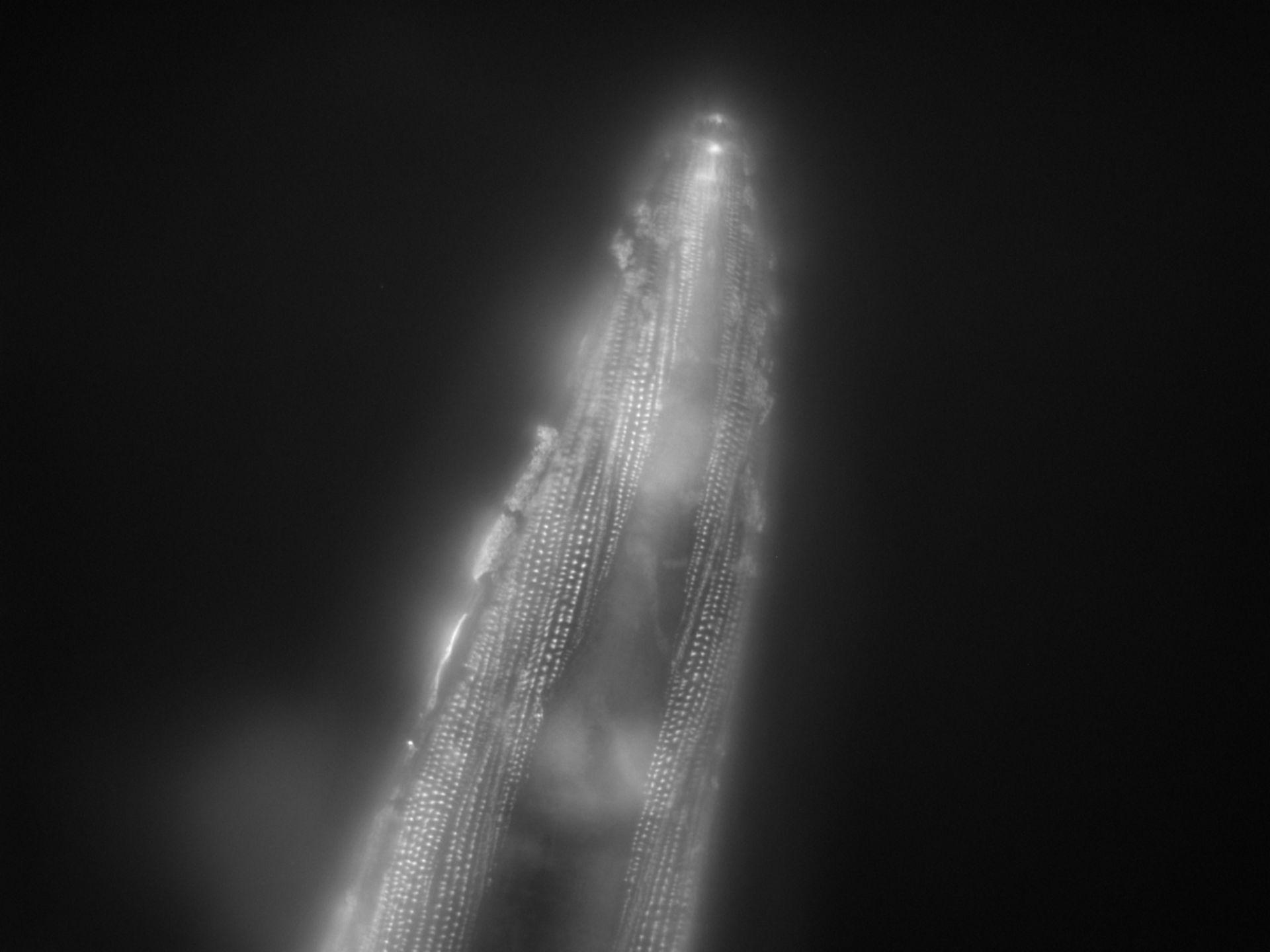 Caenorhabditis elegans (filamento di actina) - CIL:1169