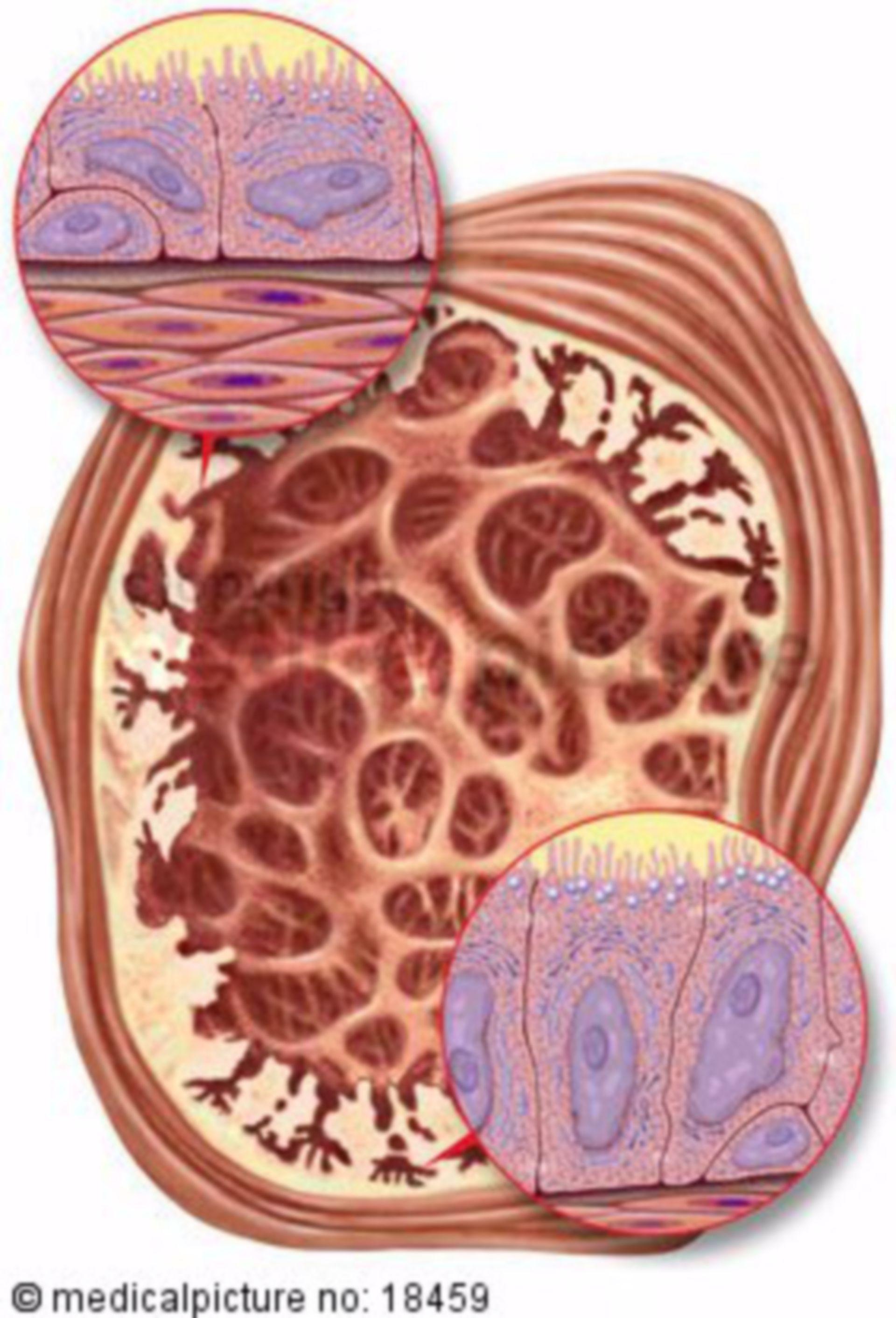 Cross-section and glandular epithelium of the seminal vesicle