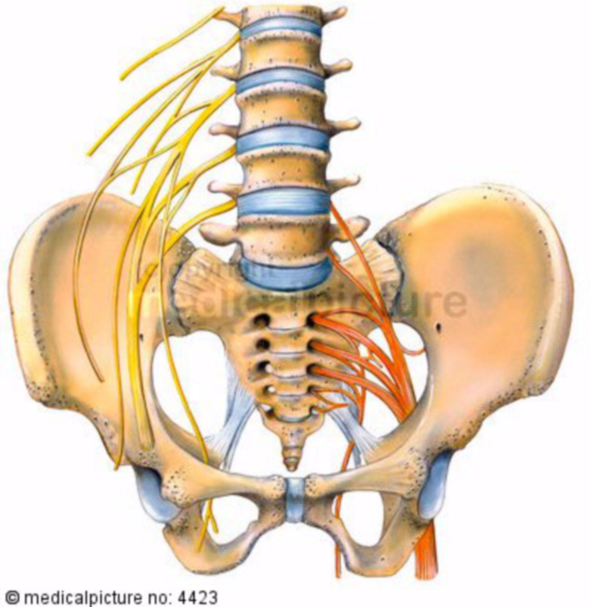 Nervios pelvicos y espinales