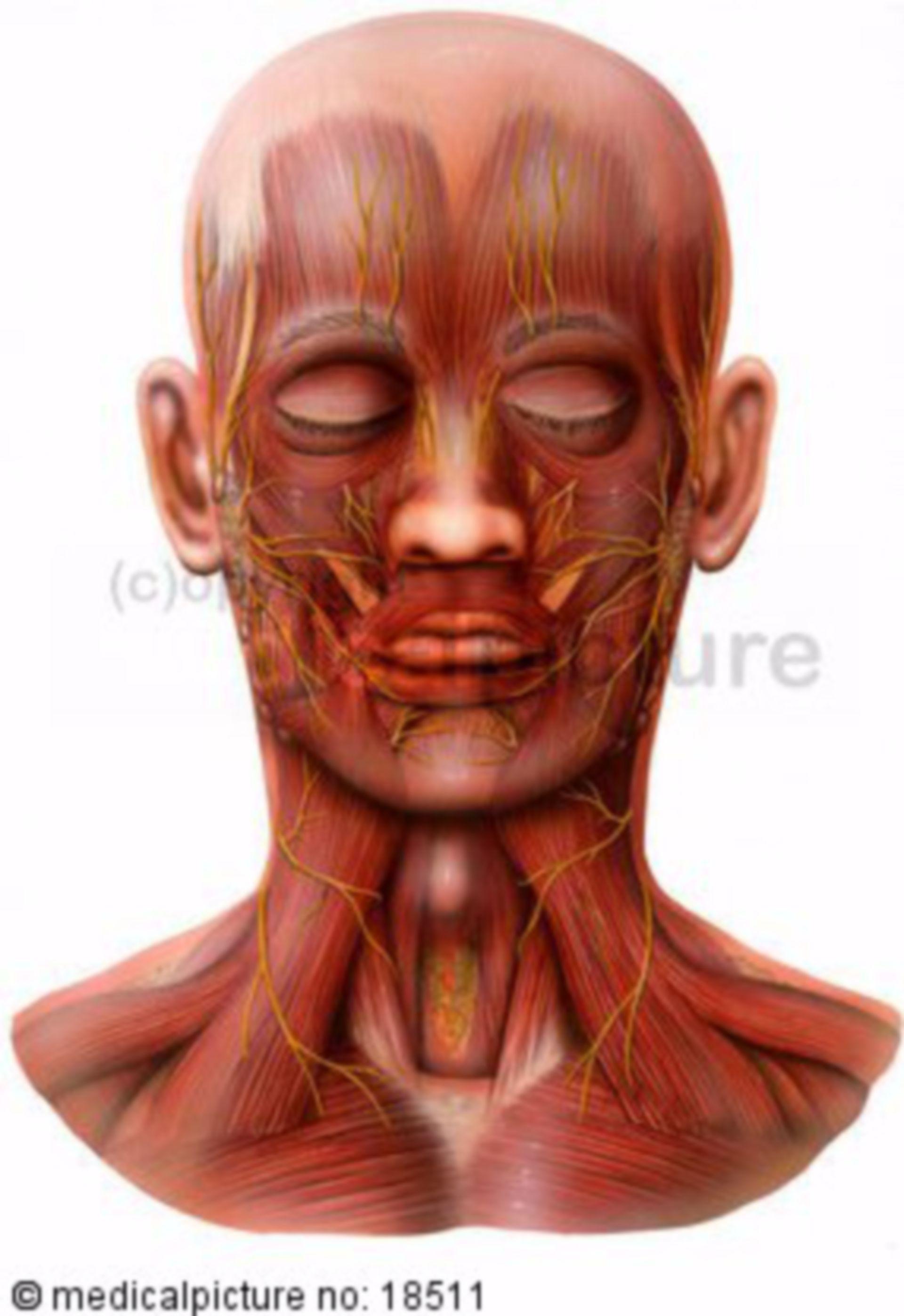Testa e collo, muscoli e nervi