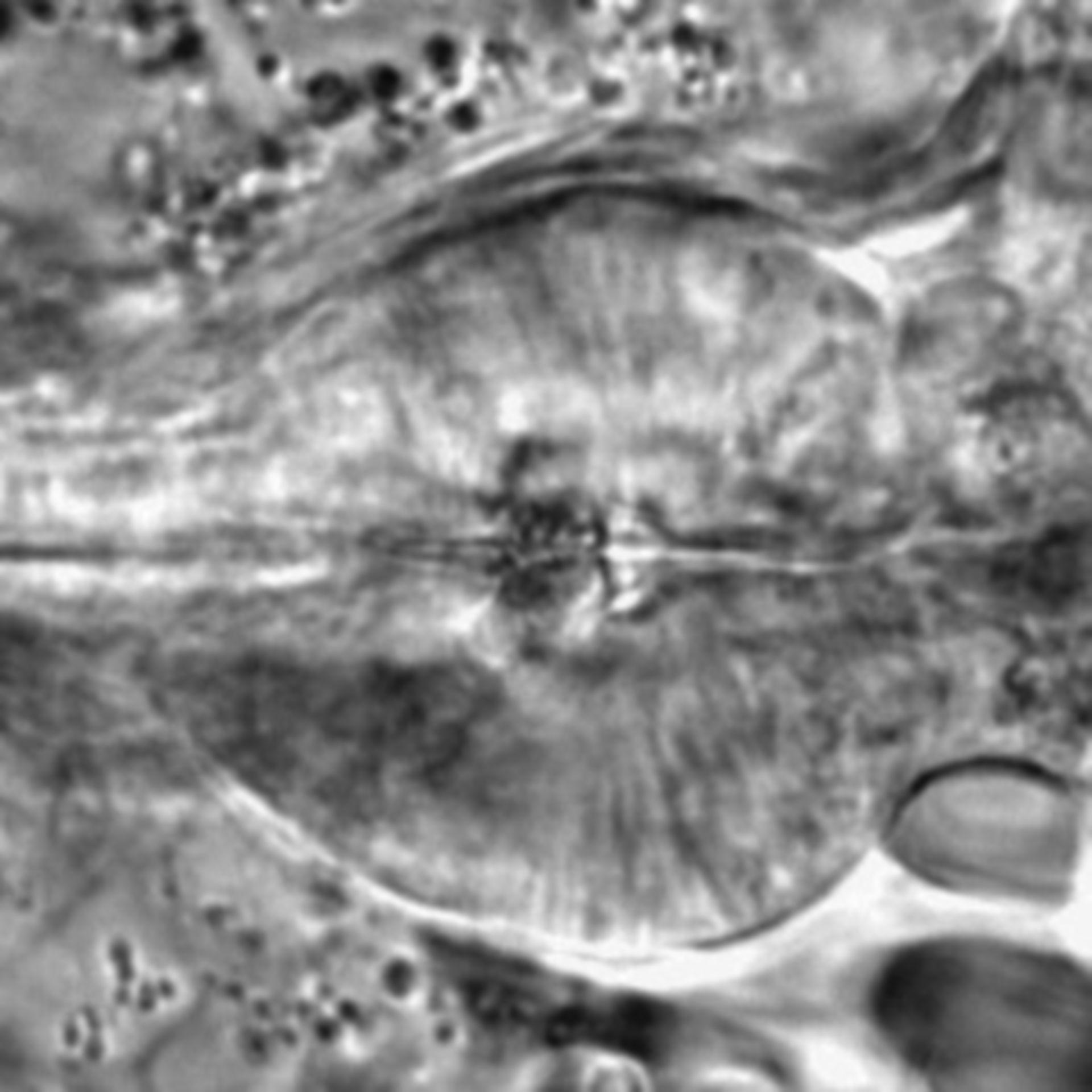 Caenorhabditis elegans - CIL:1709