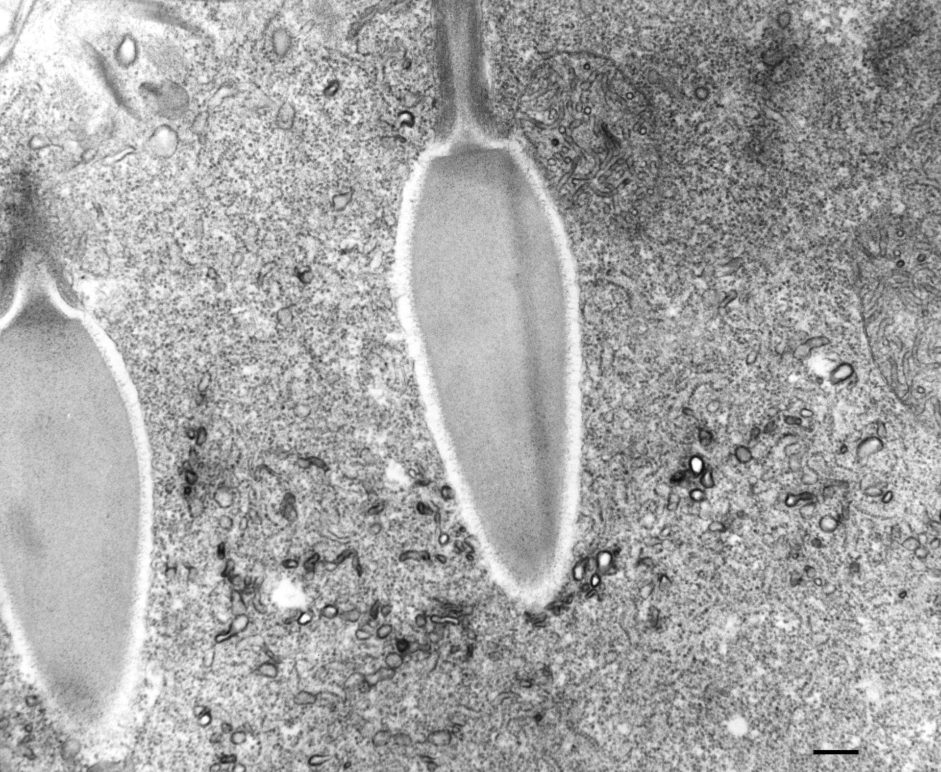 Paramecium multimicronucleatum (Citoplasma) - CIL:36683