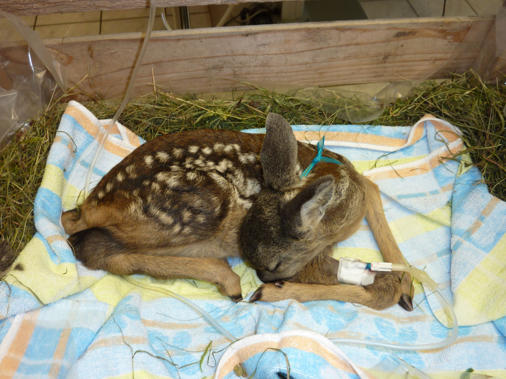 Fawn with infusion