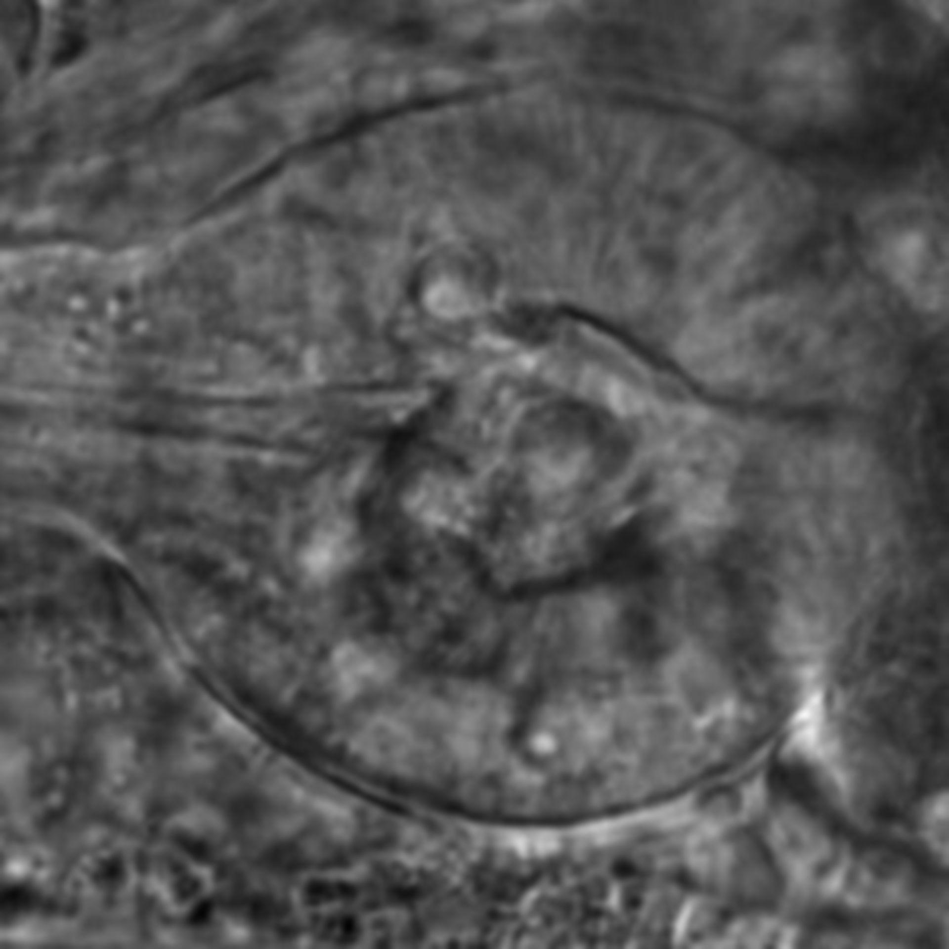 Caenorhabditis elegans - CIL:2603