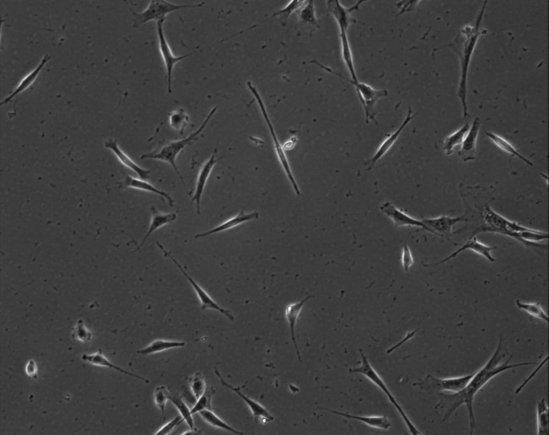 Mus musculus (Extracellular matrix part) - CIL:7898