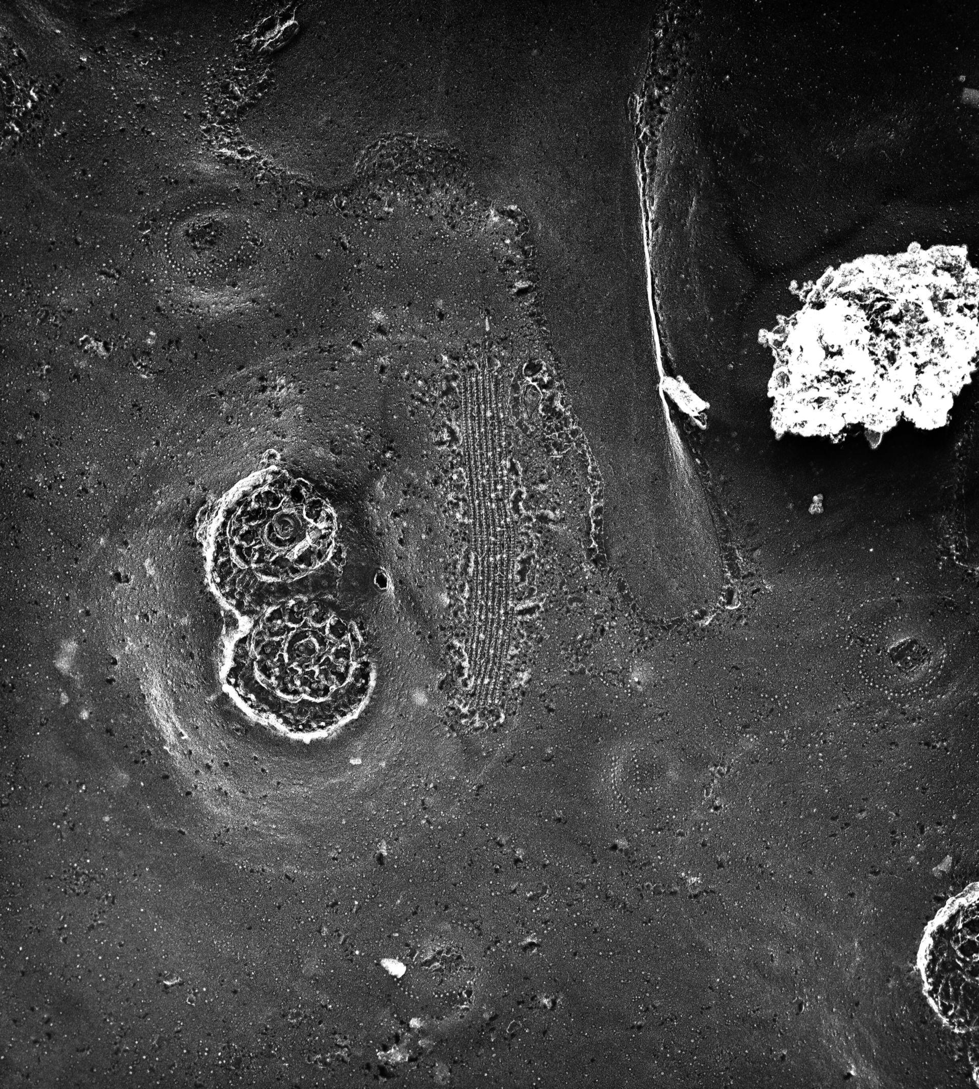 Paramecium multimicronucleatum (Pellicola) - CIL:39318