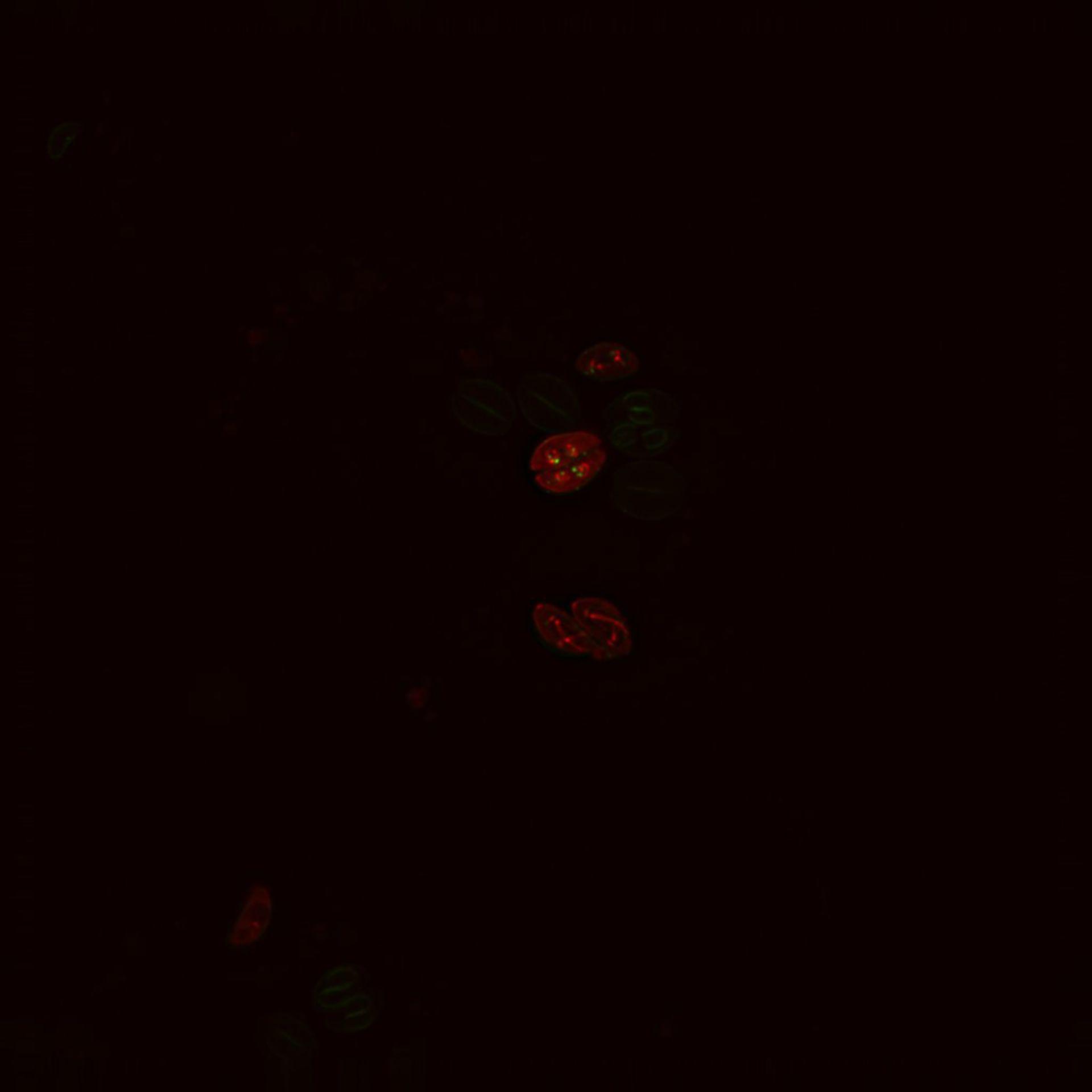 Toxoplasma gondii RH (Inner membrane complex) - CIL:10547
