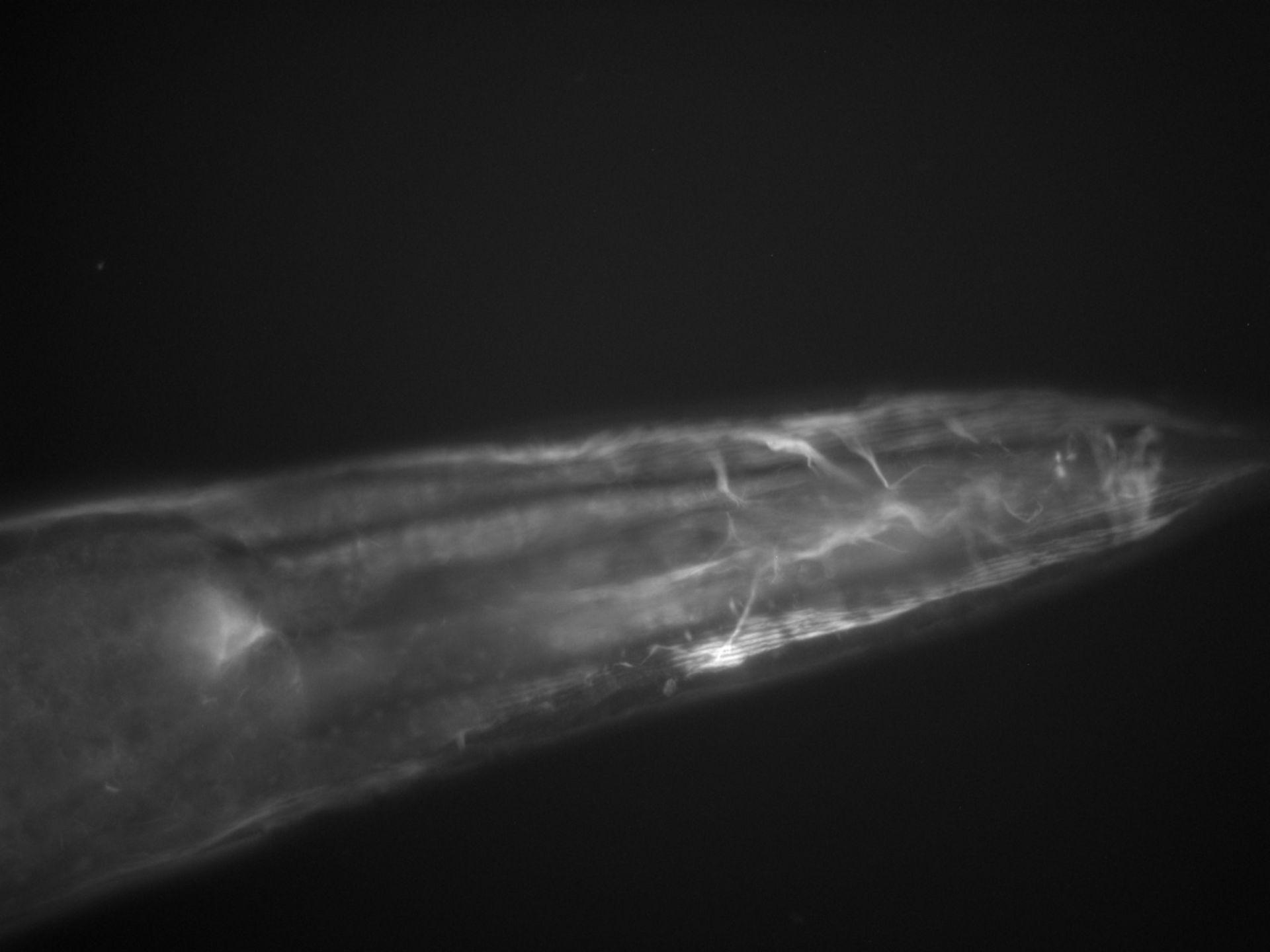 Caenorhabditis elegans (filamento di actina) - CIL:1273
