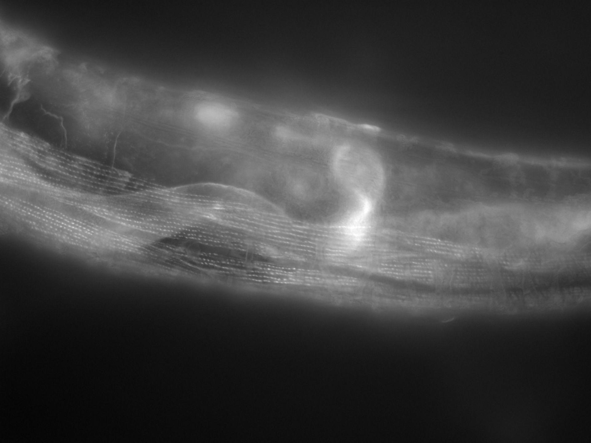 Caenorhabditis elegans (filamento di actina) - CIL:1146