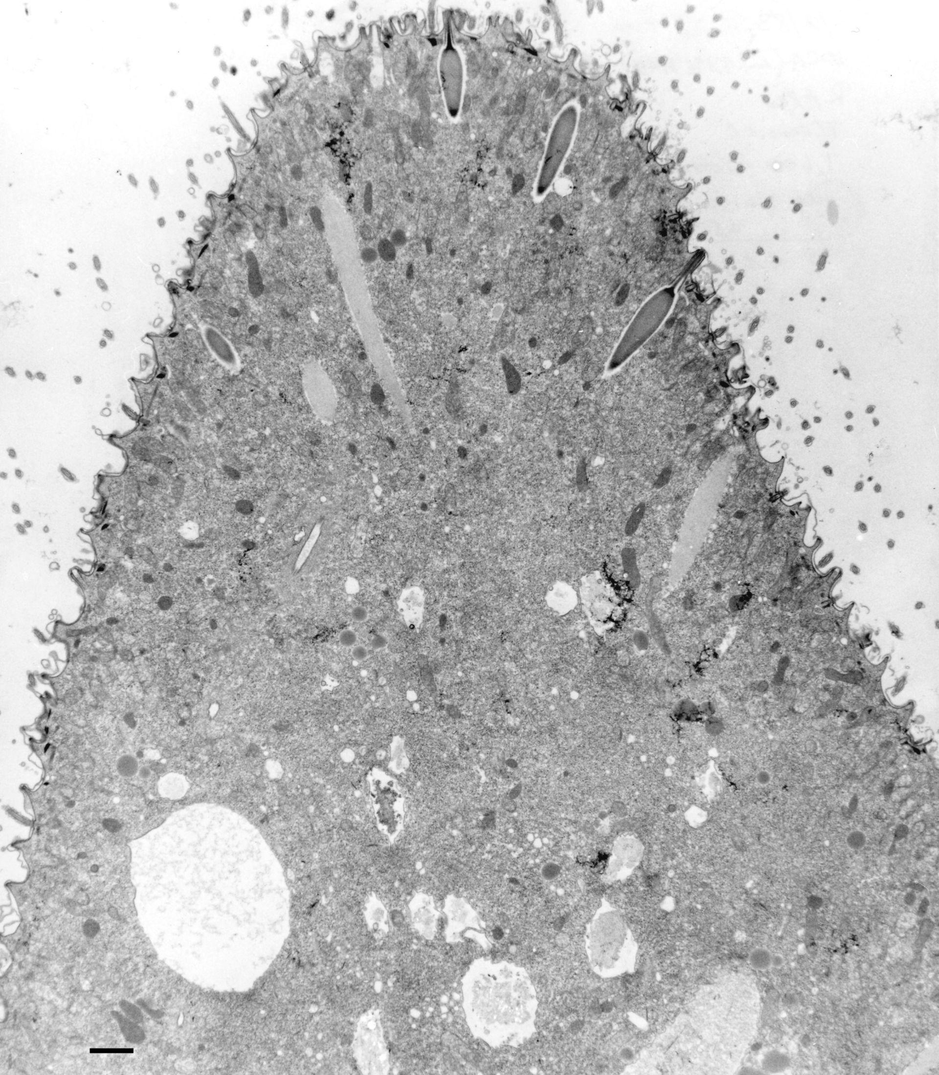 Paramecium multimicronucleatum ( - CIL:36666