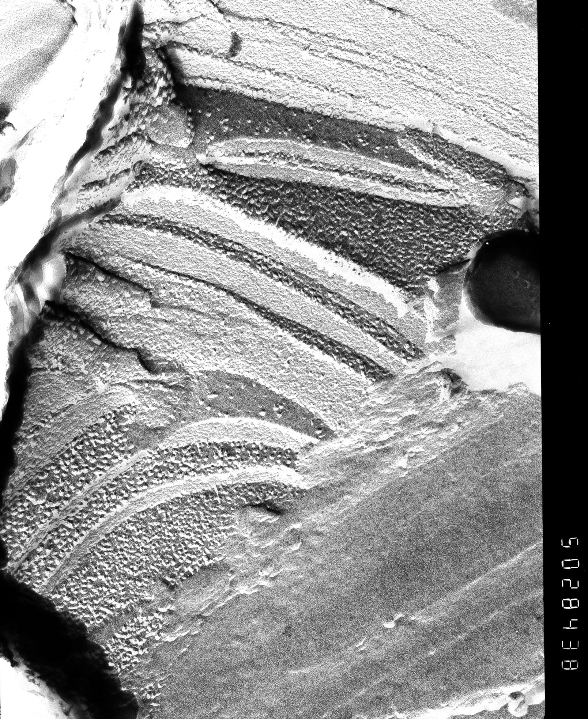 Prochloron (Thylakoid) - CIL:16229