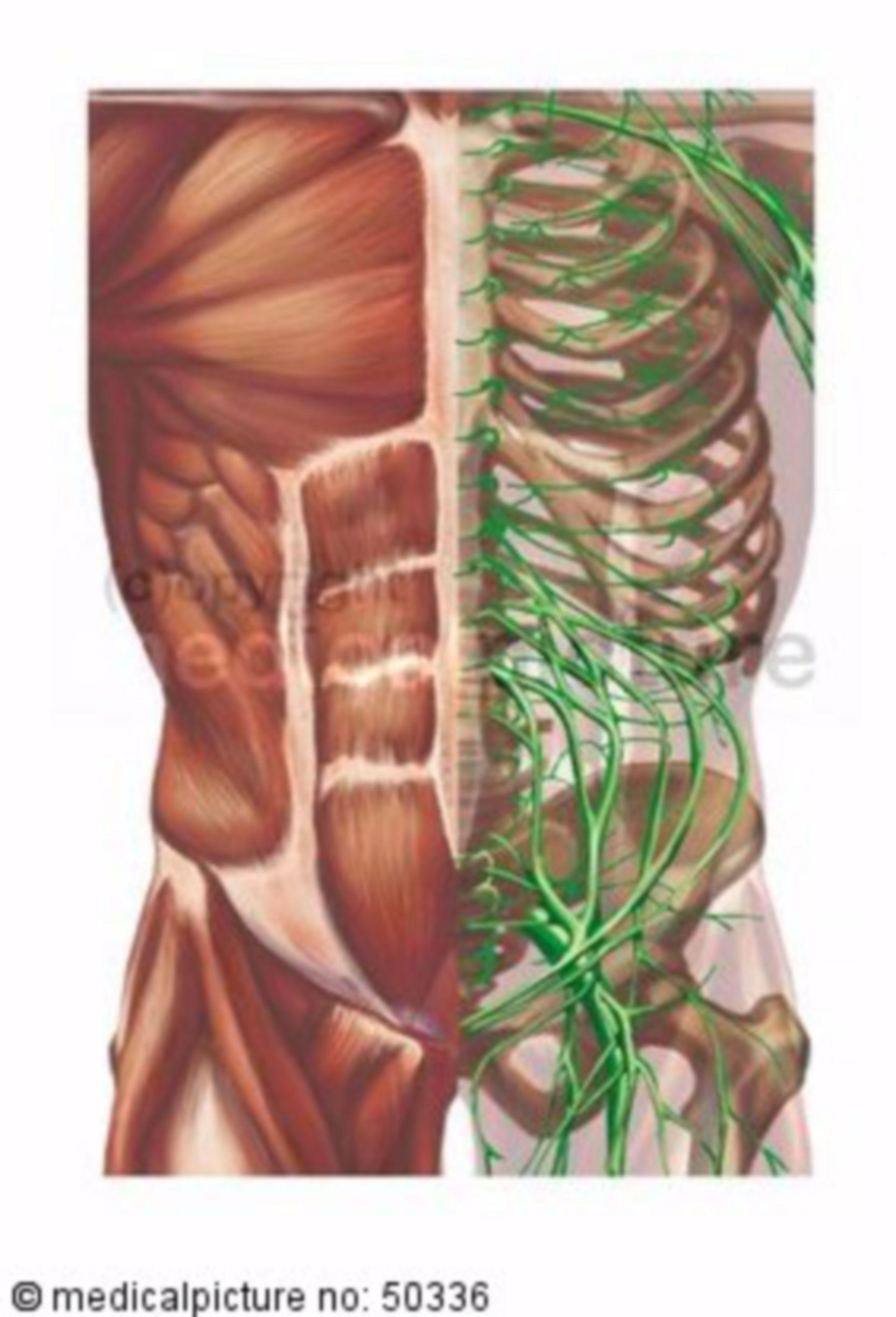 Anatomie des Rumpfes