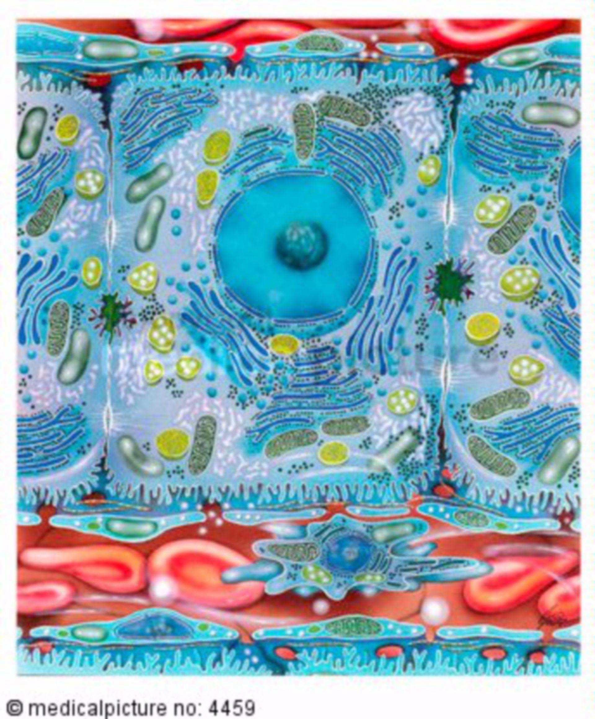 Leberzellen, Hepatozyten