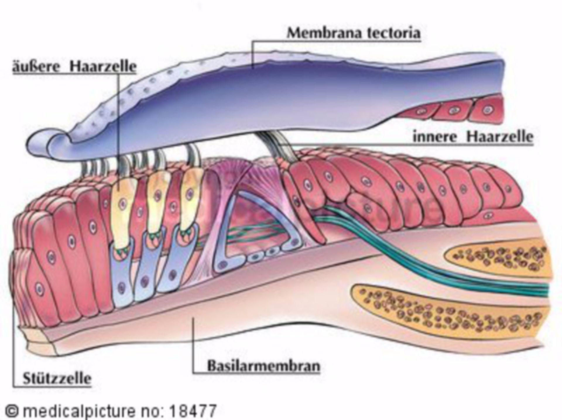 Corti-Organ, Cochlea