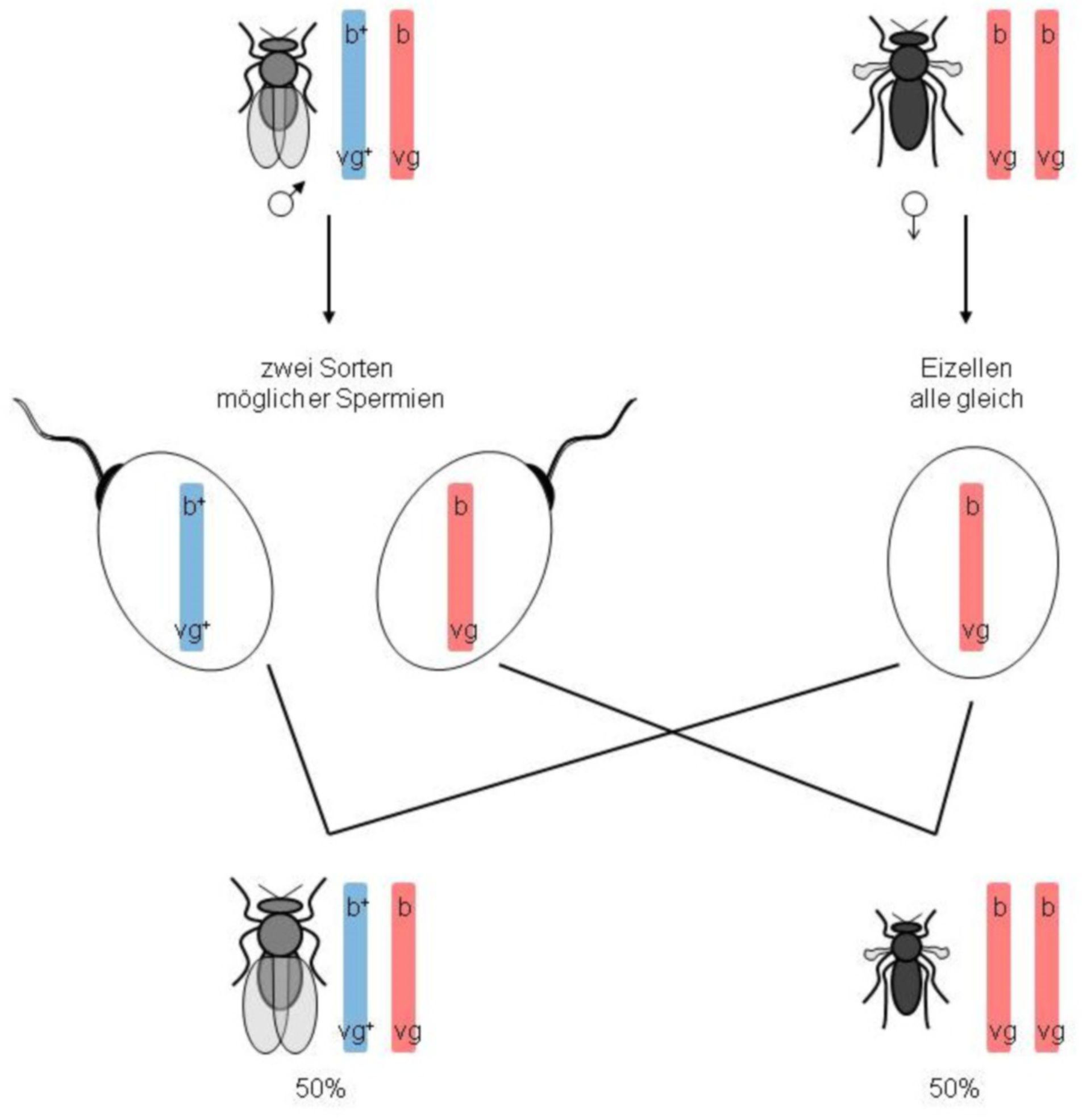 Genkopplungsnachweis bei Drosophila