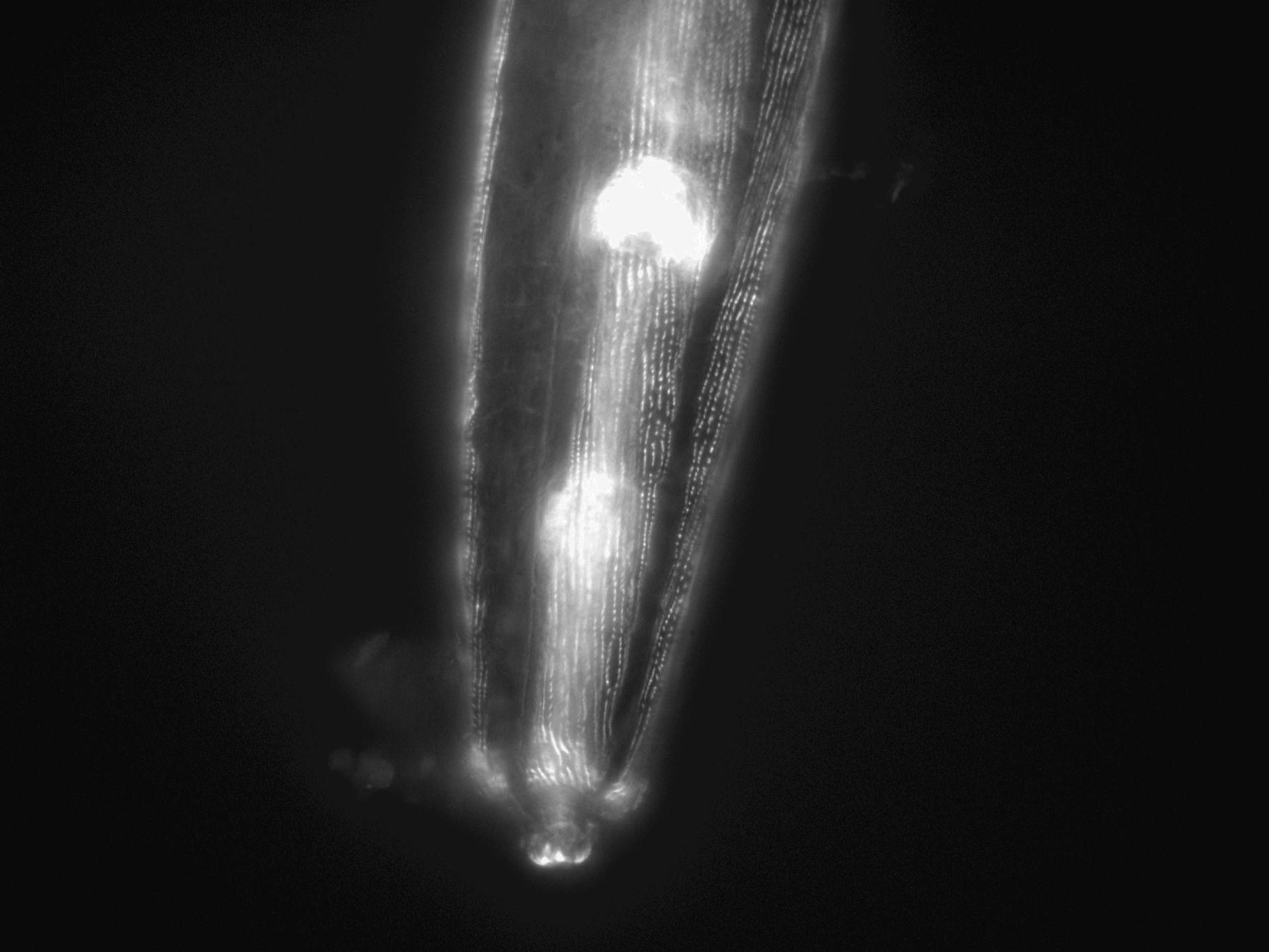 Caenorhabditis elegans (Actin filament) - CIL:1151