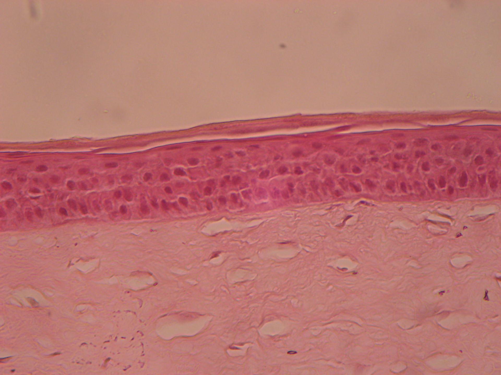 Eye of sheep (1) -  Cornea Epithelium anterius cornea   Lamina limitans anterior   Substantia propria corneae