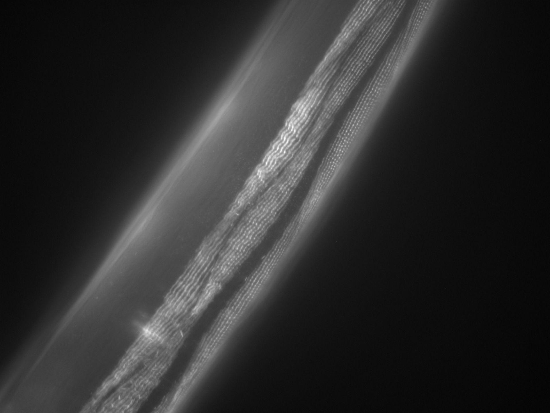 Caenorhabditis elegans (Actin filament) - CIL:1050