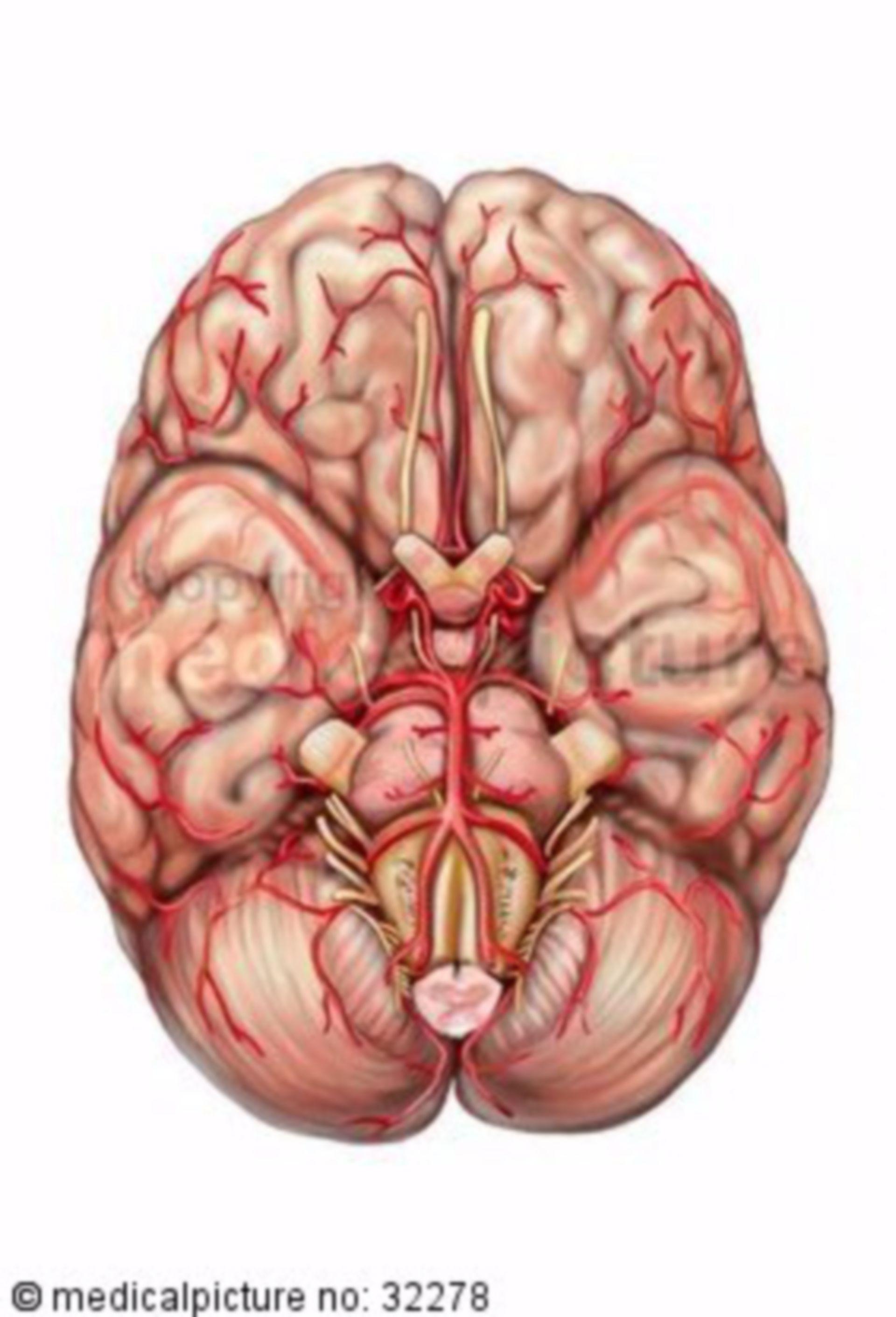 Brain from below