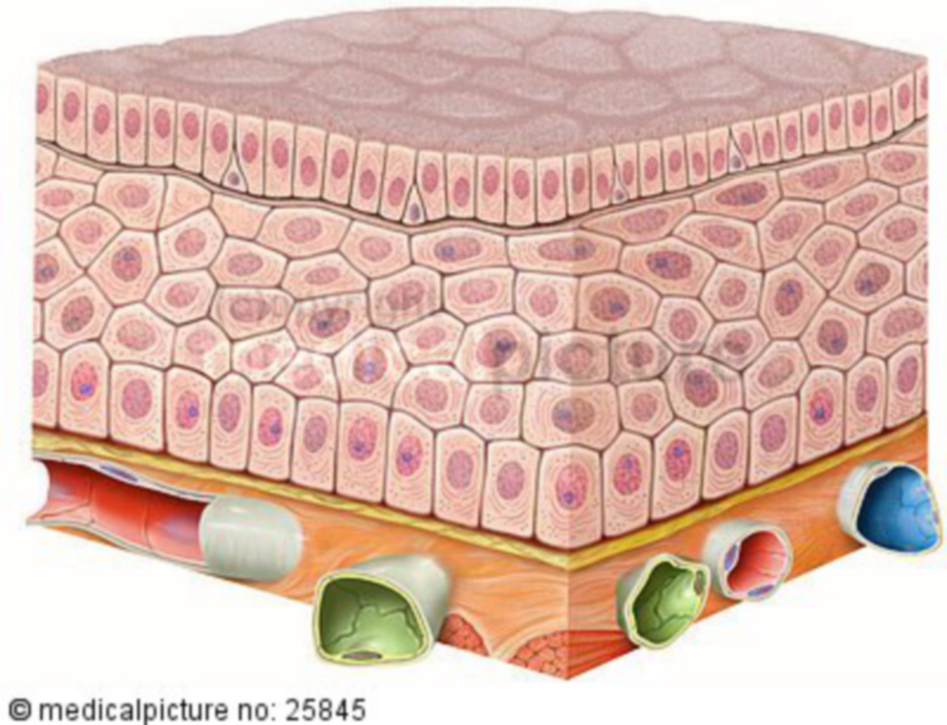 Respiratory epithelium with cilia and vessels