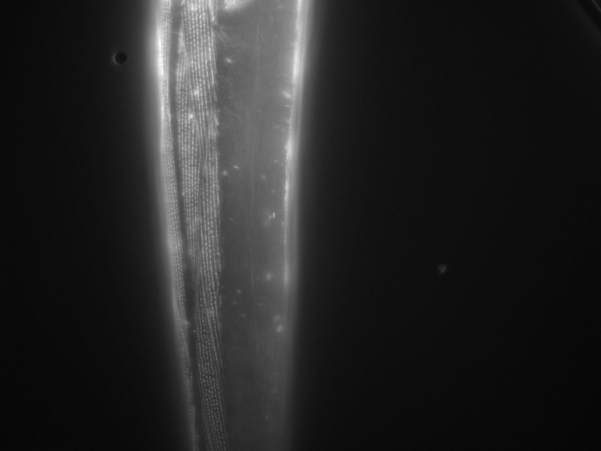 Caenorhabditis elegans (filamenti di actina) - CIL:1027