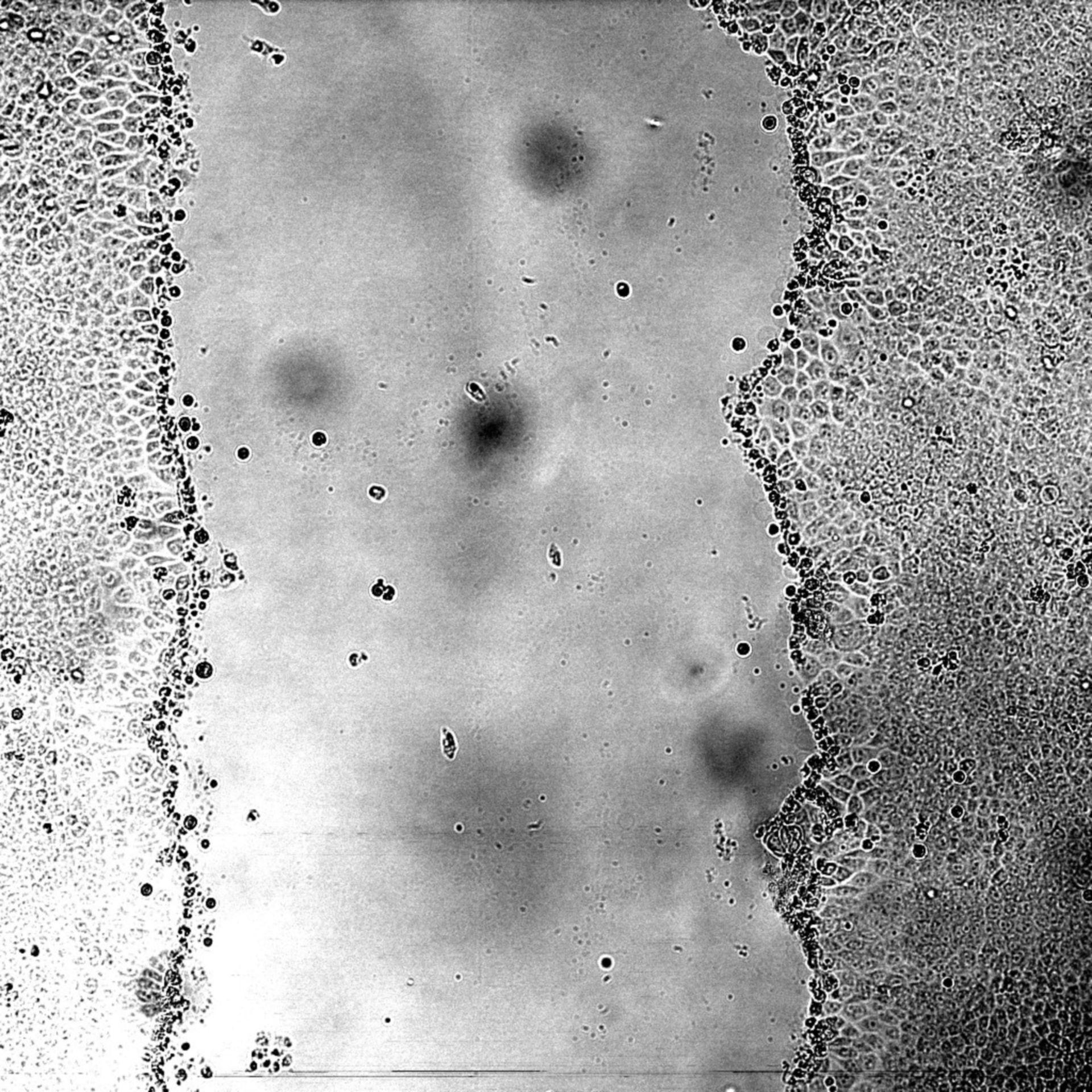 Canis lupus familiaris (cellule epiteliali del rene) - CIL: 44.505