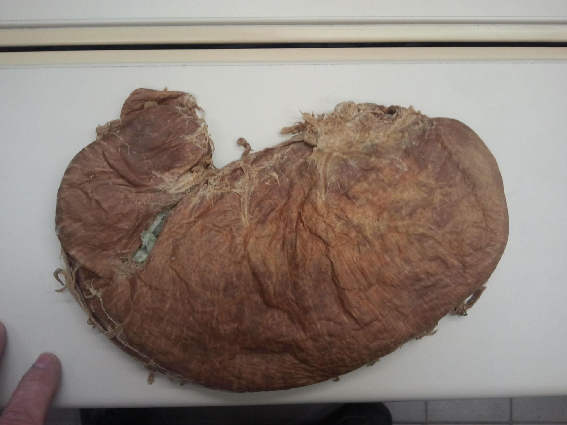 Ventral stomach plastinate
