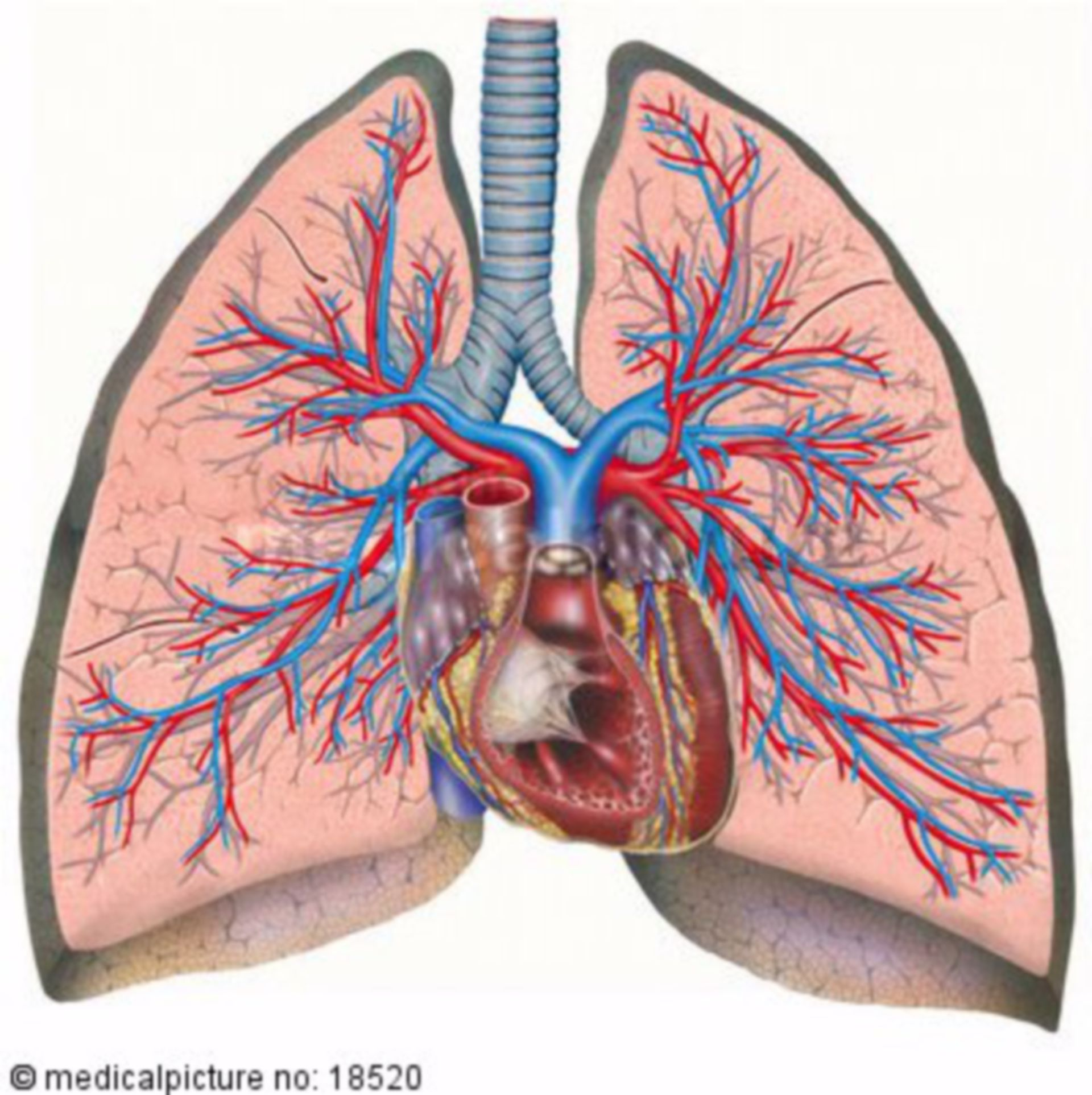 Cuore, polmoni, la circolazione del sangue