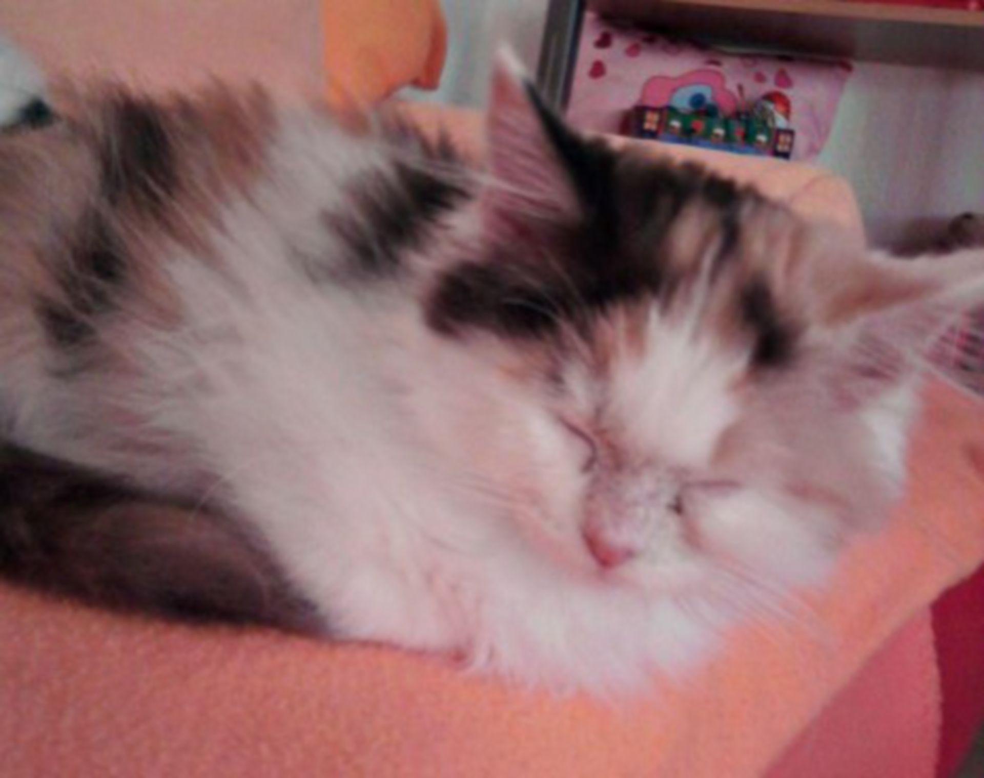 Perser hybrid -  3 months old