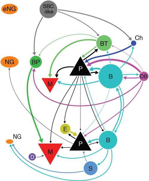 Mit Diagrammen wie diesem halten die Forscher fest, wie die einzelnen Neuronen mit ihren Nachbarn verbunden sind. © CIN