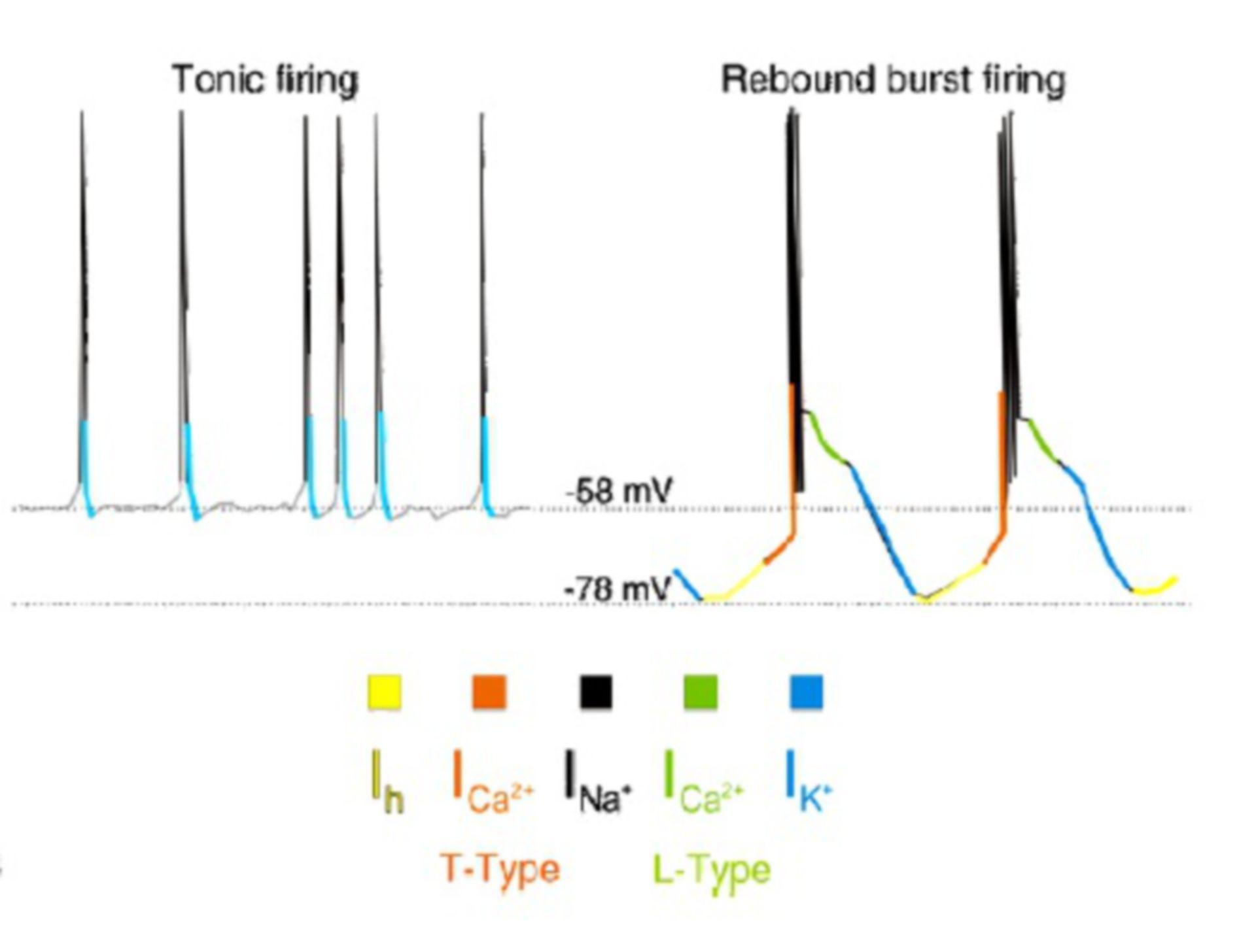 Tonic und Rebound Burst Firing
