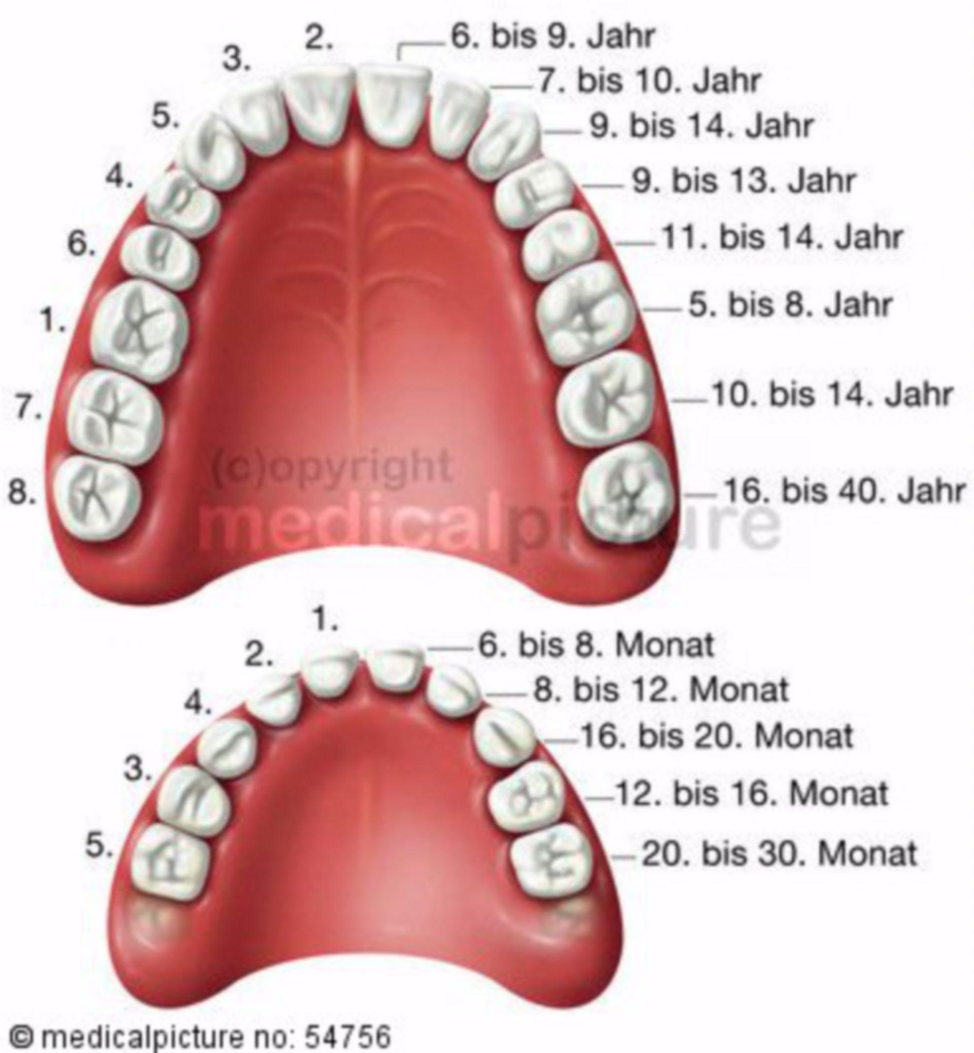 Lo sviluppo dei denti