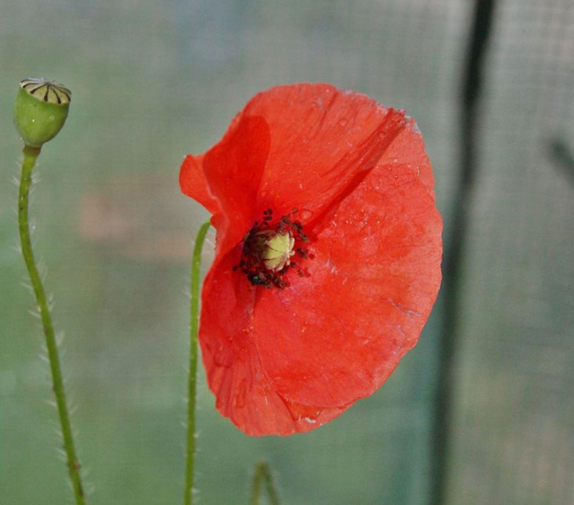 Papaver rhoeas (Blüte und unreife Kapsel)