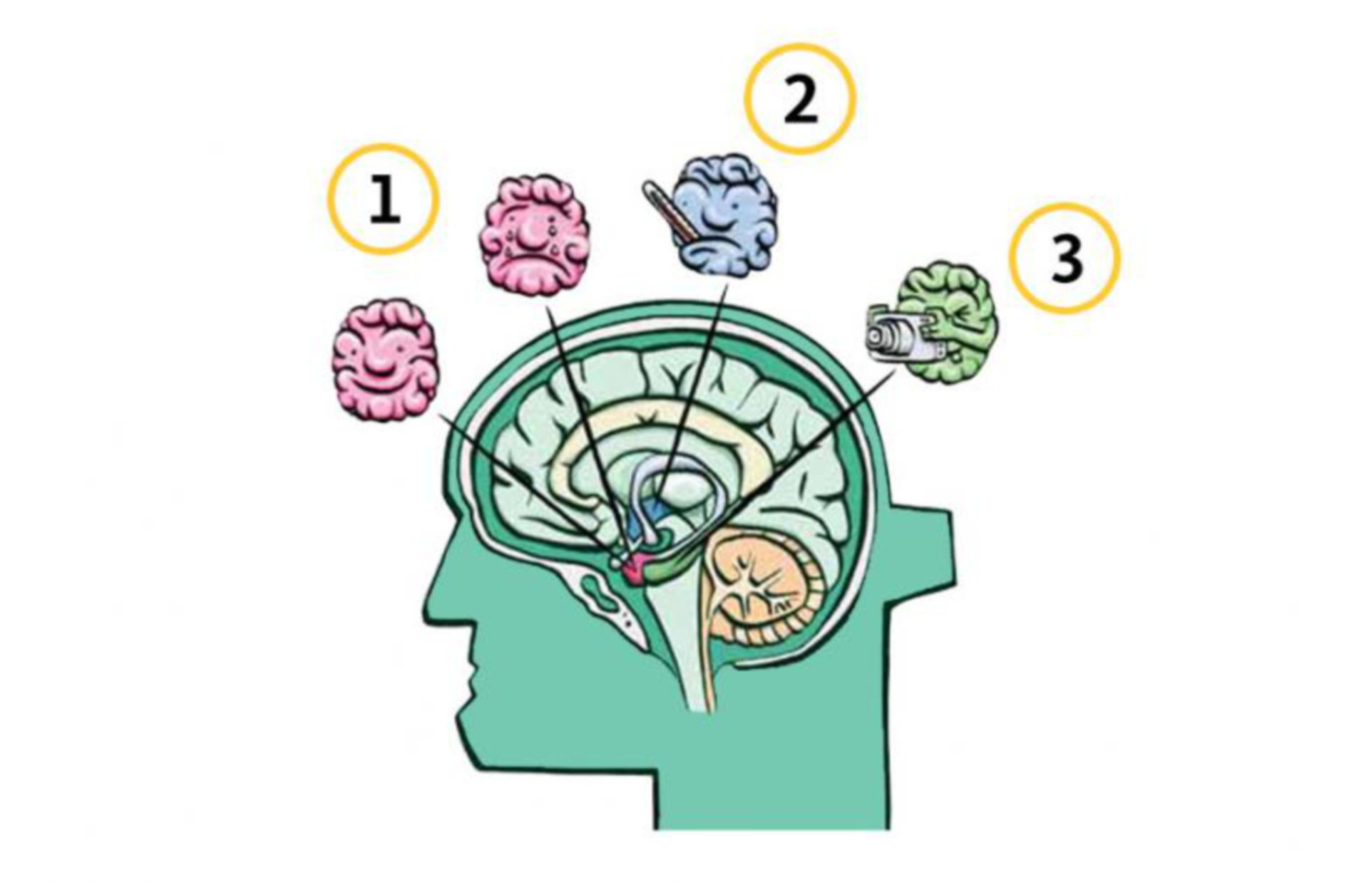 Functional areas of the brain part II