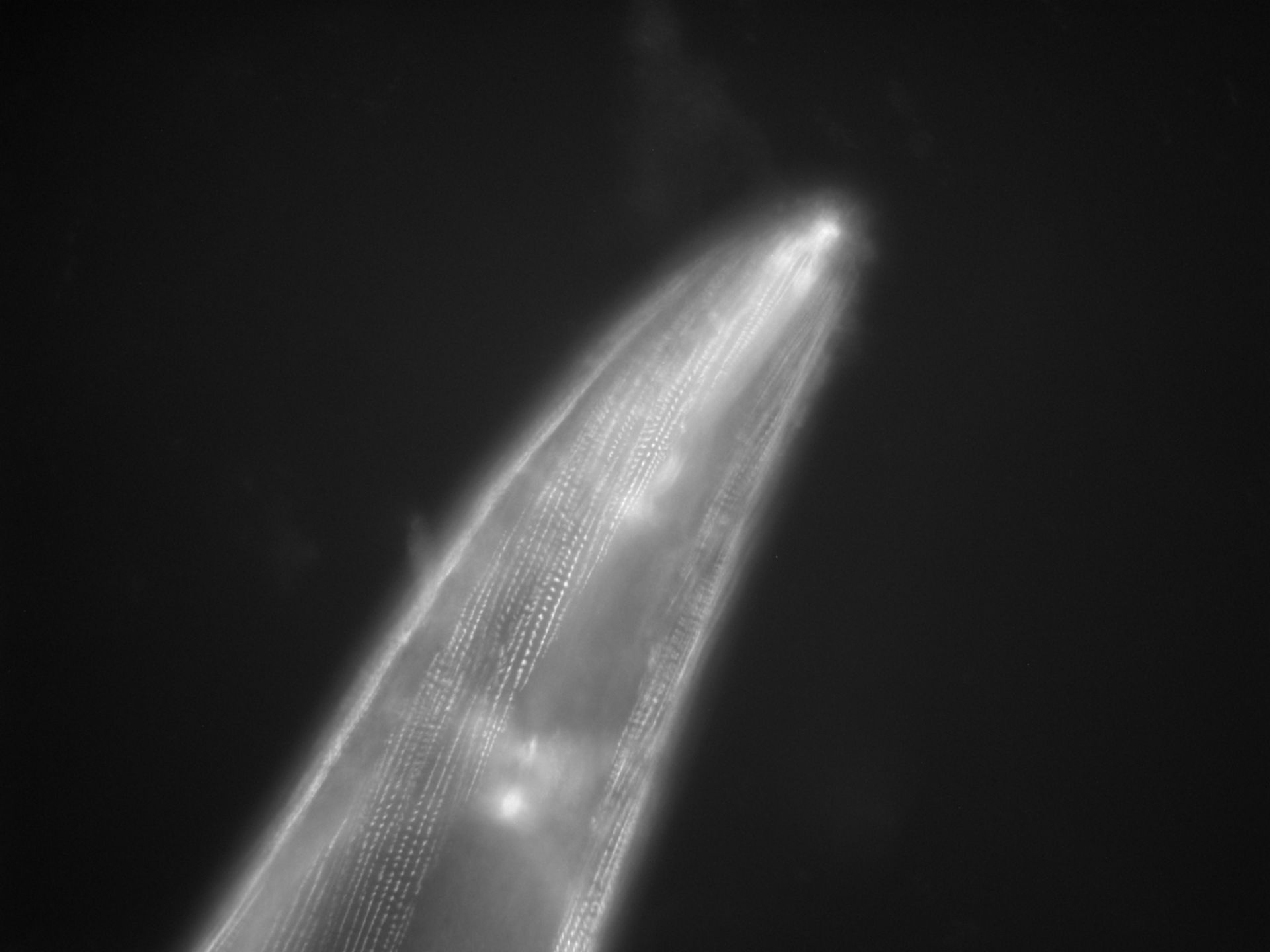 Caenorhabditis elegans (filamento di actina) - CIL:1115