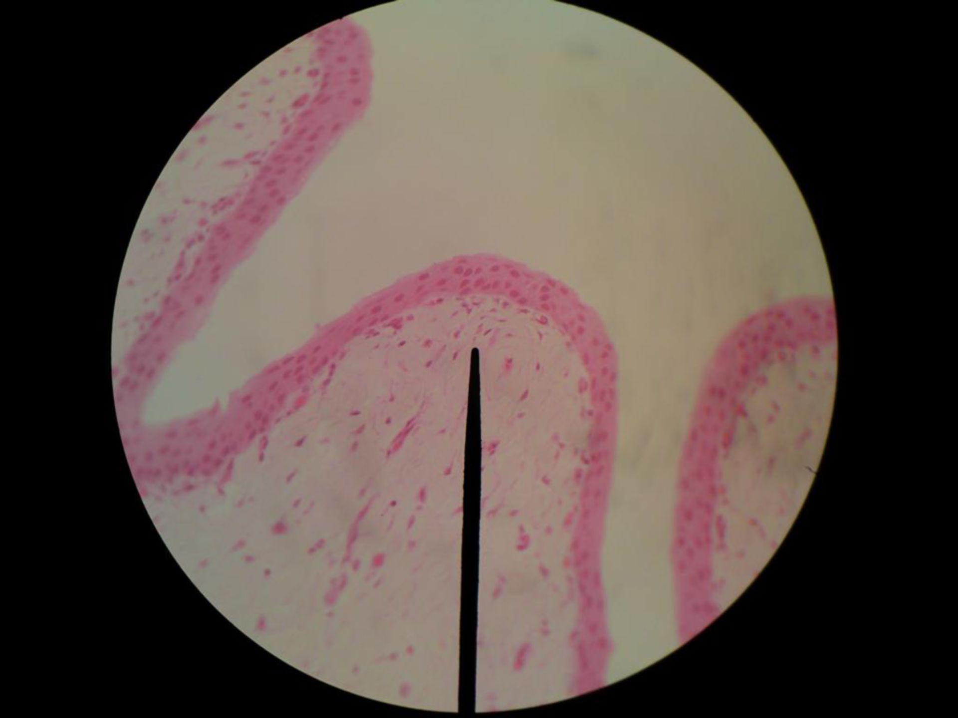 Uroteliale (2) - uretere di pecore