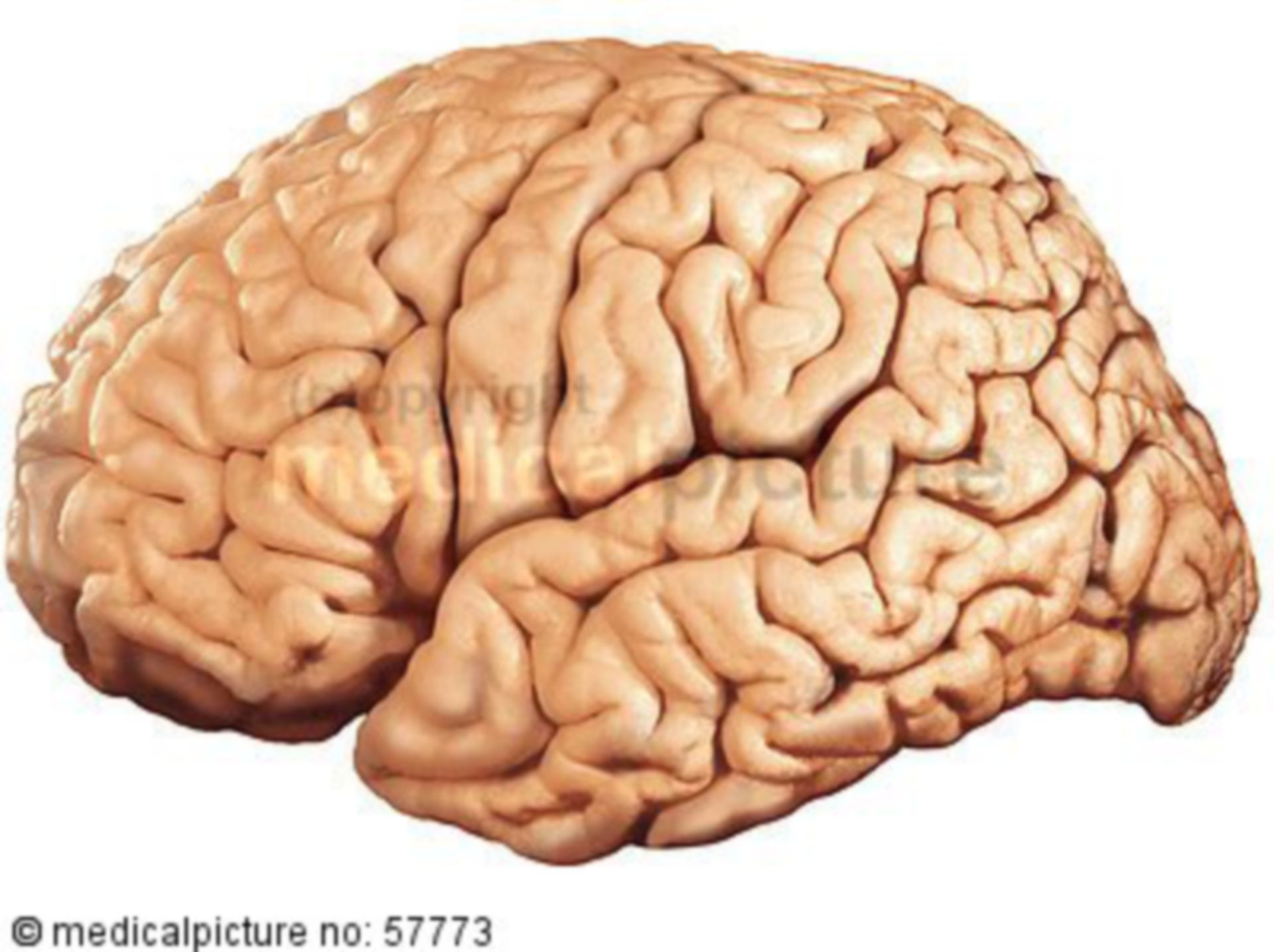 Anatomische Illustrationen - Gehirn (Seitenansicht)