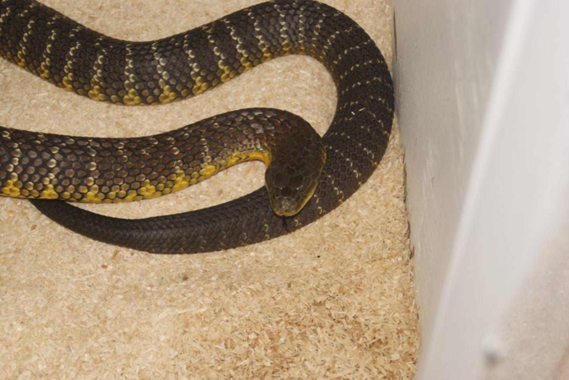 Notechis scutatus - tiger snake