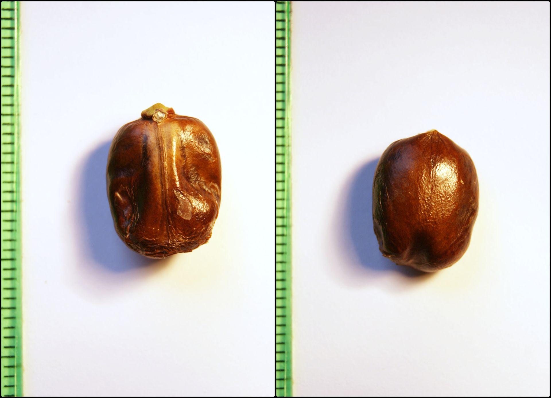 Ricinus communis - semi