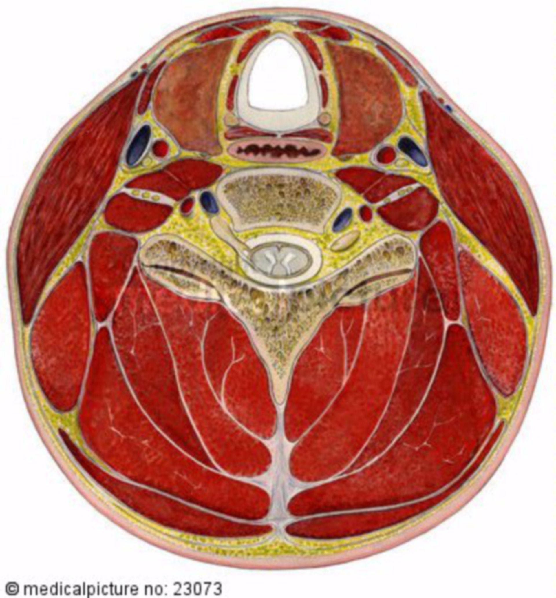 Hals, Transversalschnitt