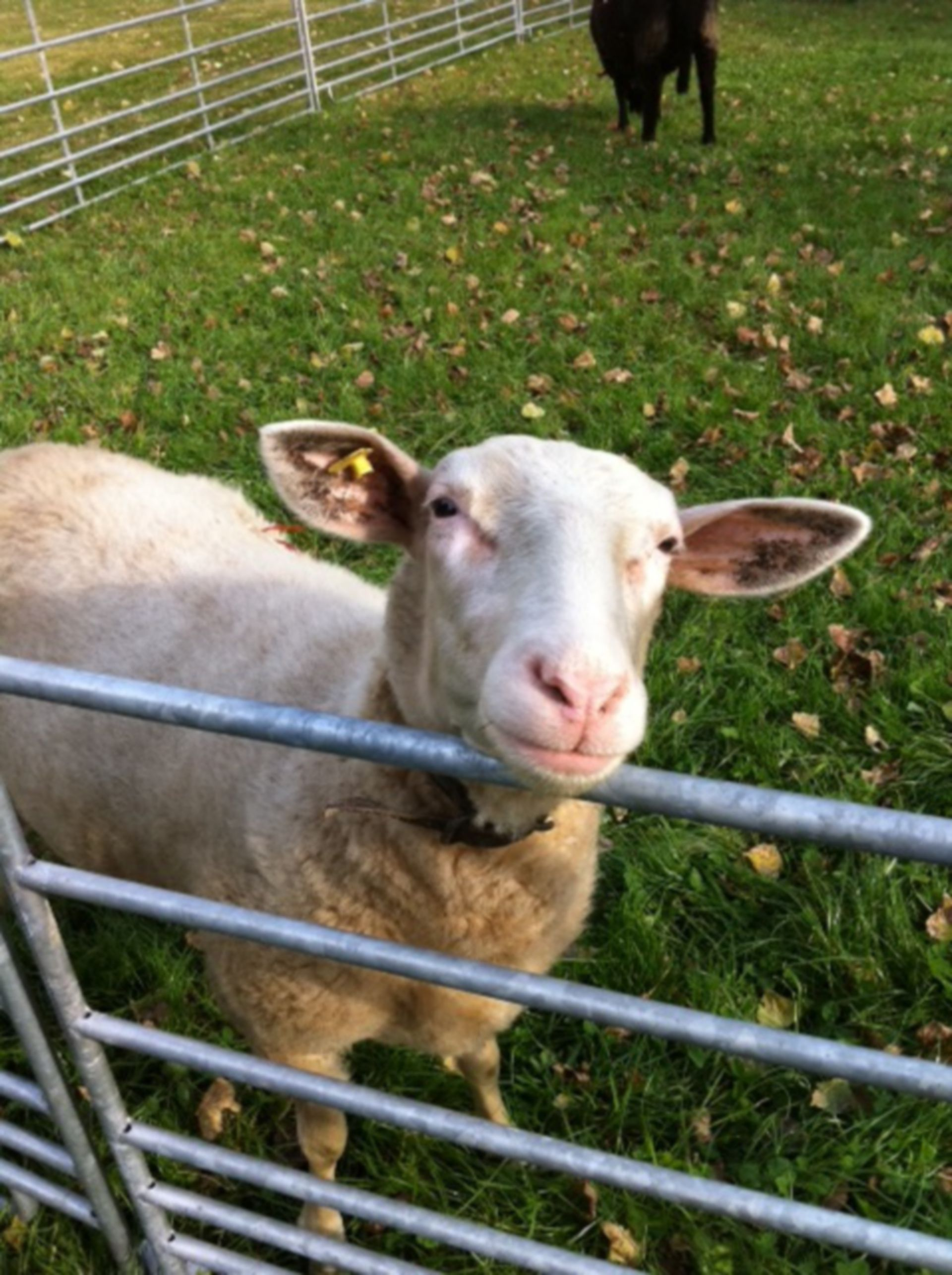 Sheep - open-minded creature