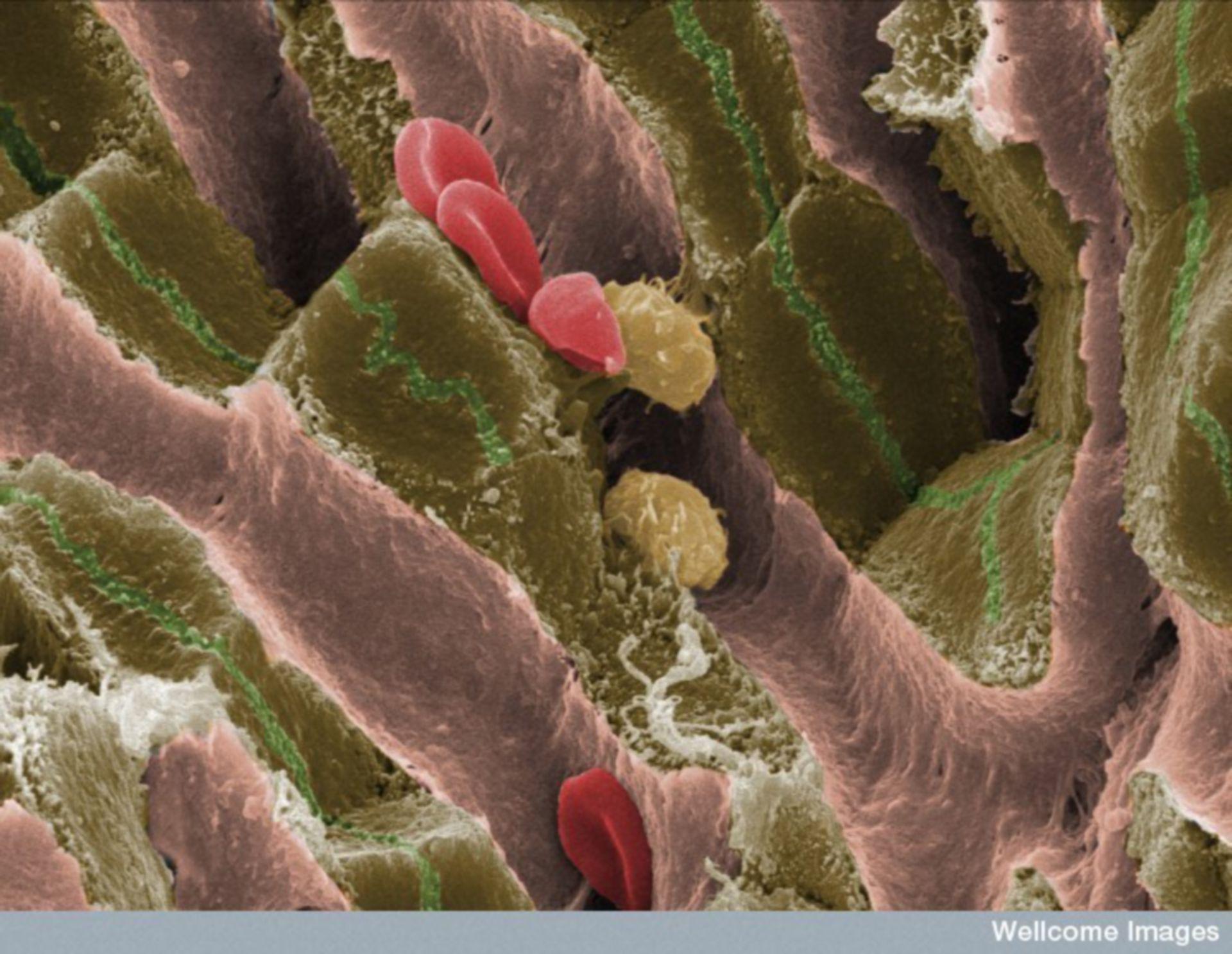 Struttura interna del tessuto epatico di un topo adulto