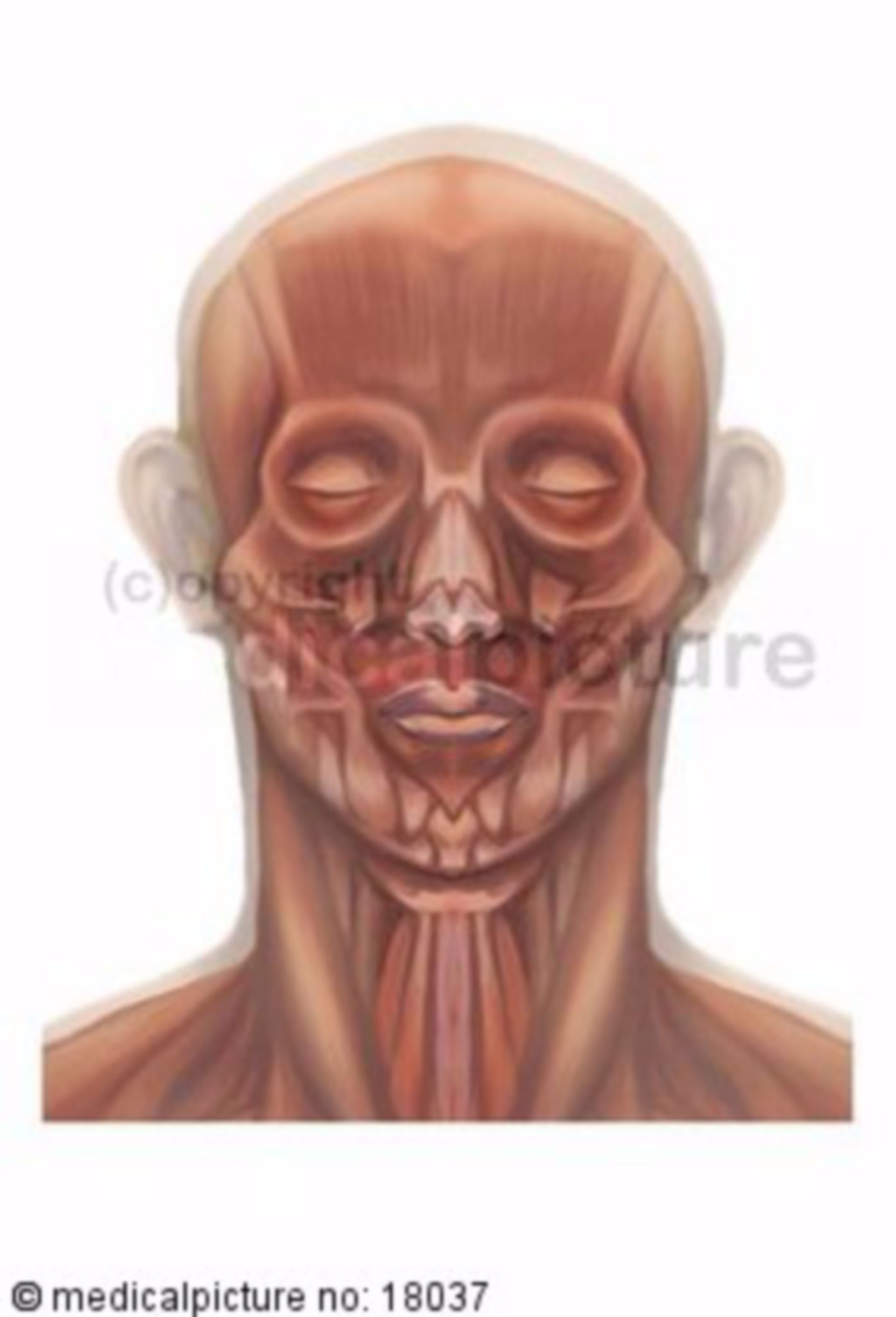 Plastic depiction of the head and neck muscles