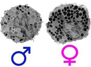In den weiblichen Mastzellen sind die Granula dichter gepackt und enthalten mehr Immun-Mediatoren © A. Moeser, Michigan State University
