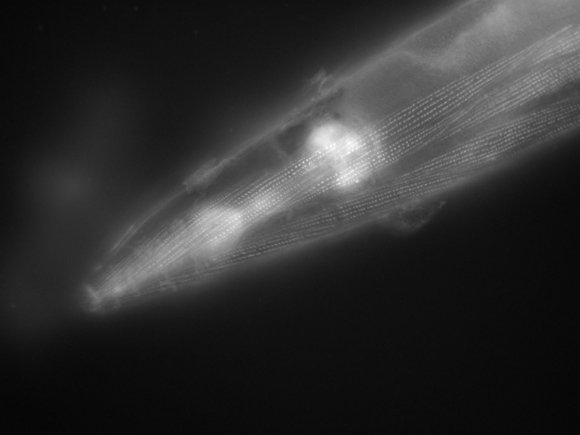 Caenorhabditis elegans (filamento di actina) - CIL:1135